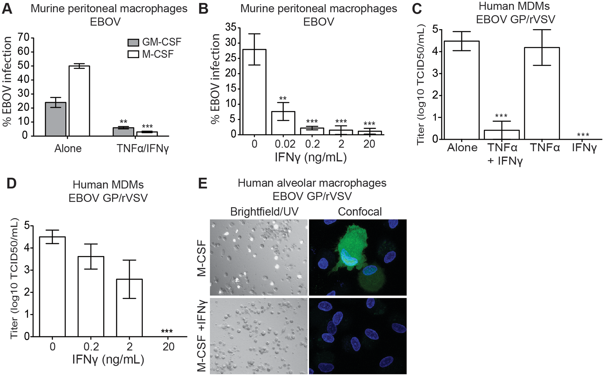 IFNγ-treated macrophages are resistant to EBOV infection.