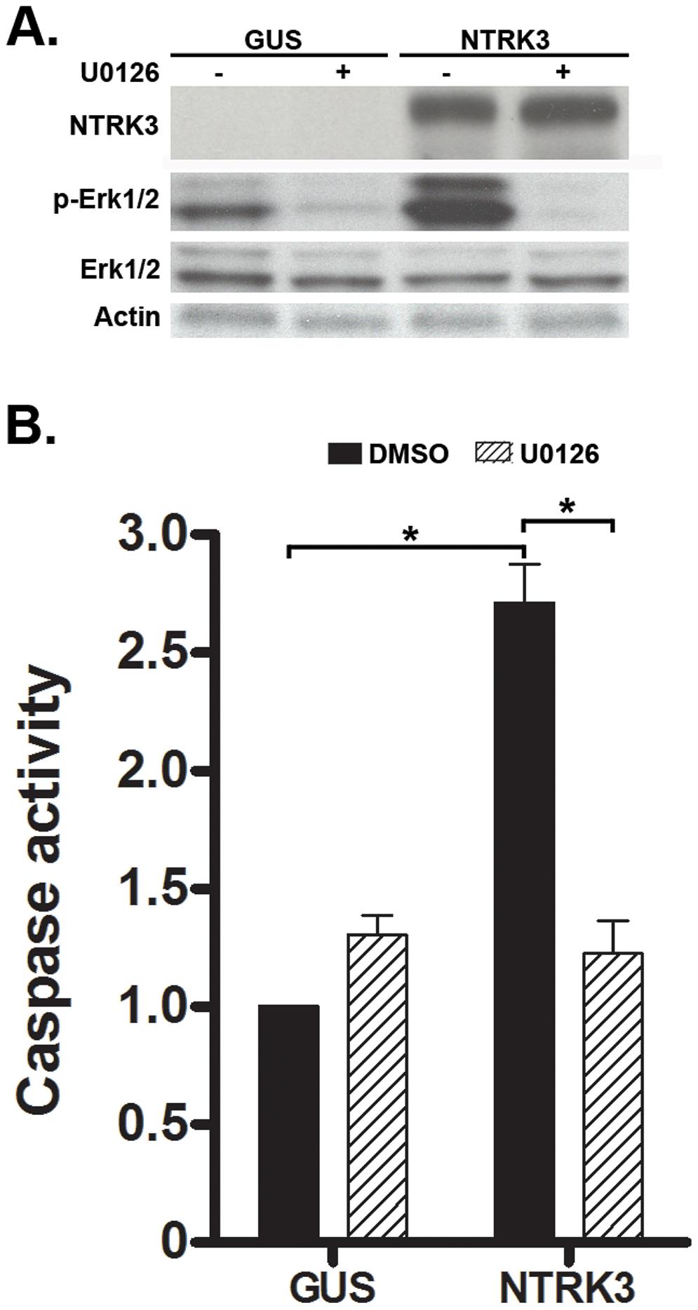 NTRK3 expression induces phosphorylation of Erk1/2 (Thr202/Tyr204), and the inhibition of phosphorylation of Erk1/2 correlates with decreased apoptosis induced by NTRK3.