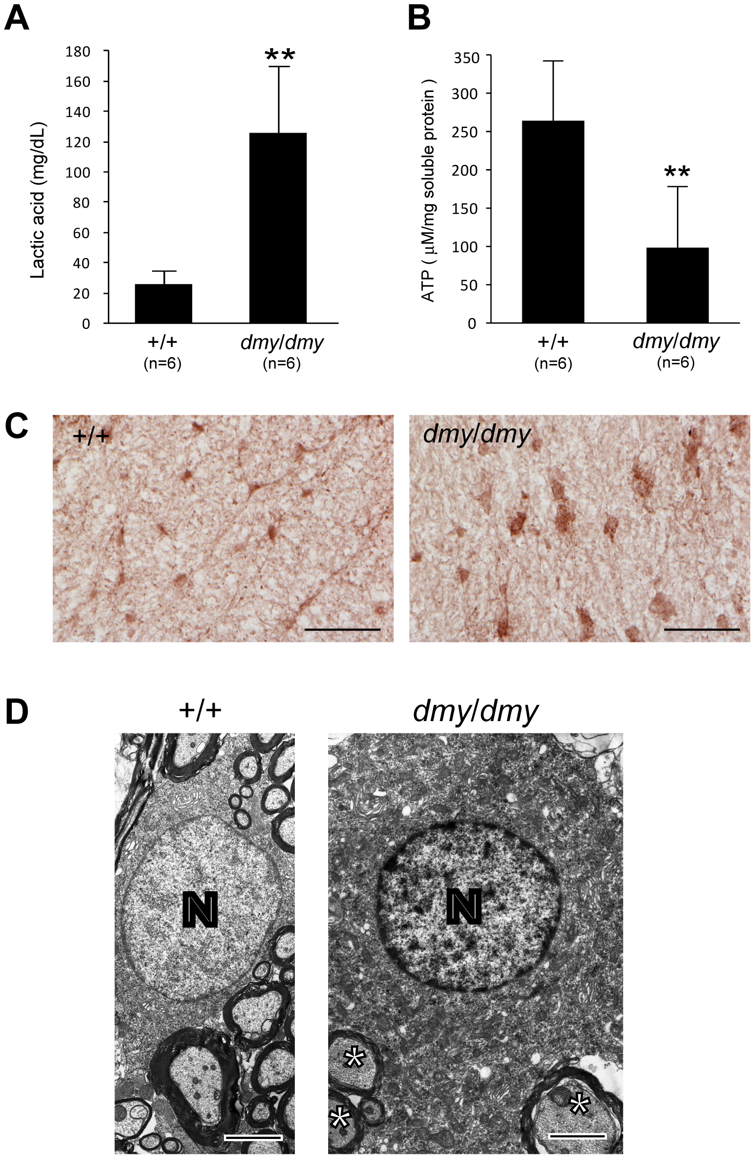 Biochemical and morphological abnormalities in the mitochondria of <i>dmy/dmy</i> mutant rats.