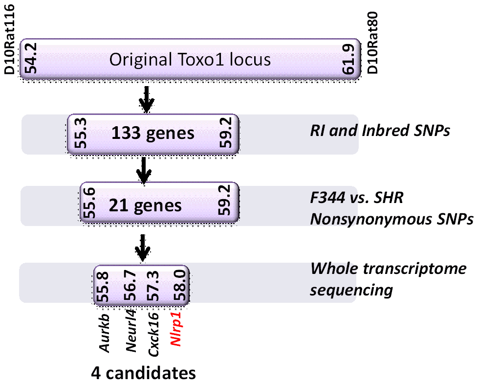 Summary flow diagram for mapping of rat macrophage sensitivity to four candidate genes.