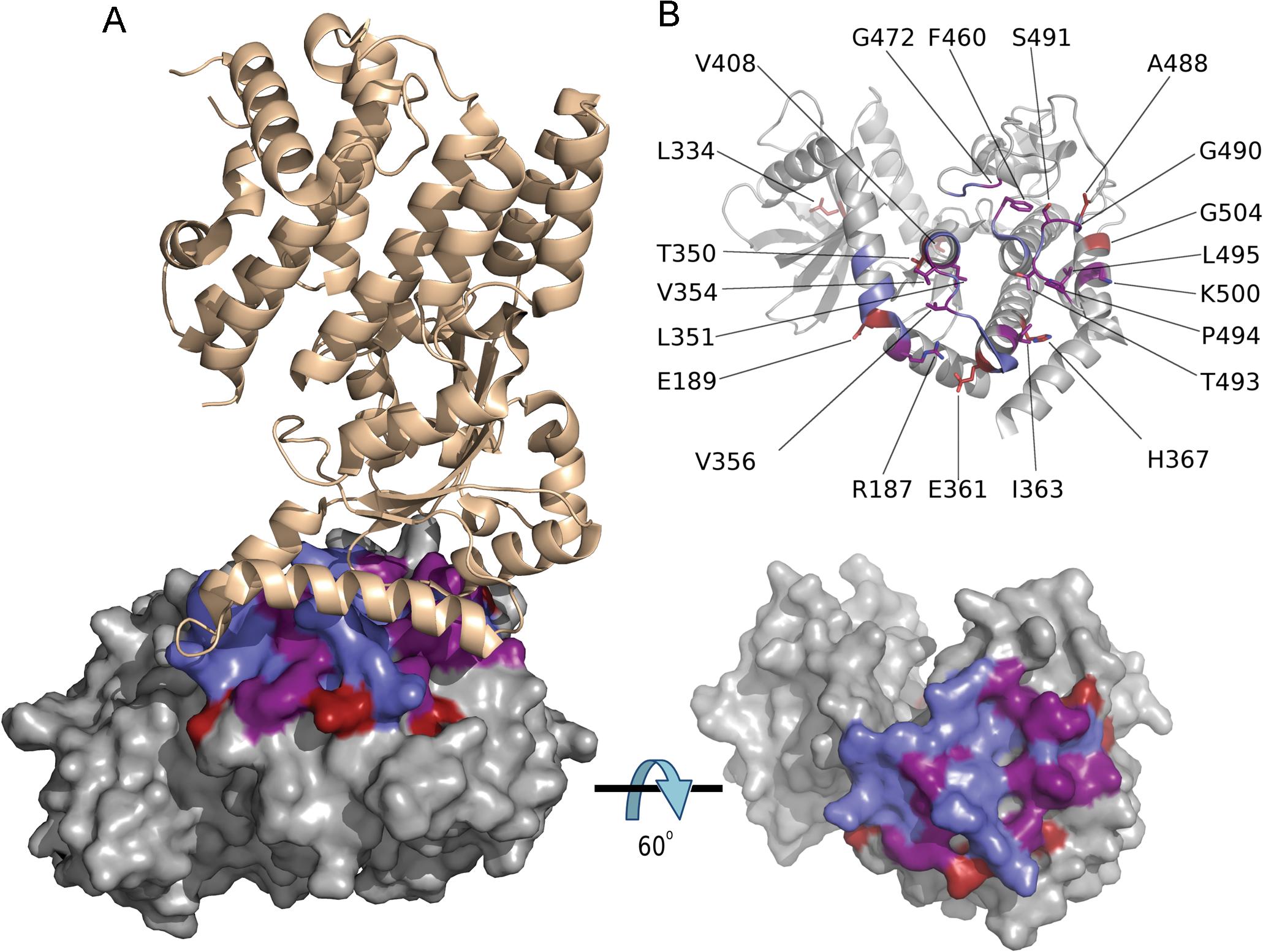 Codons under positive diversifying selection encode amino acid residues at the ROP5B<sub>I</sub> /IRGa6 interface.