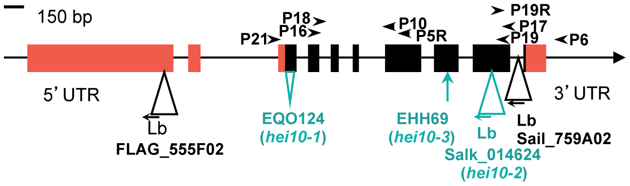 Characterisation of mutations in the HEI10 genomic region.