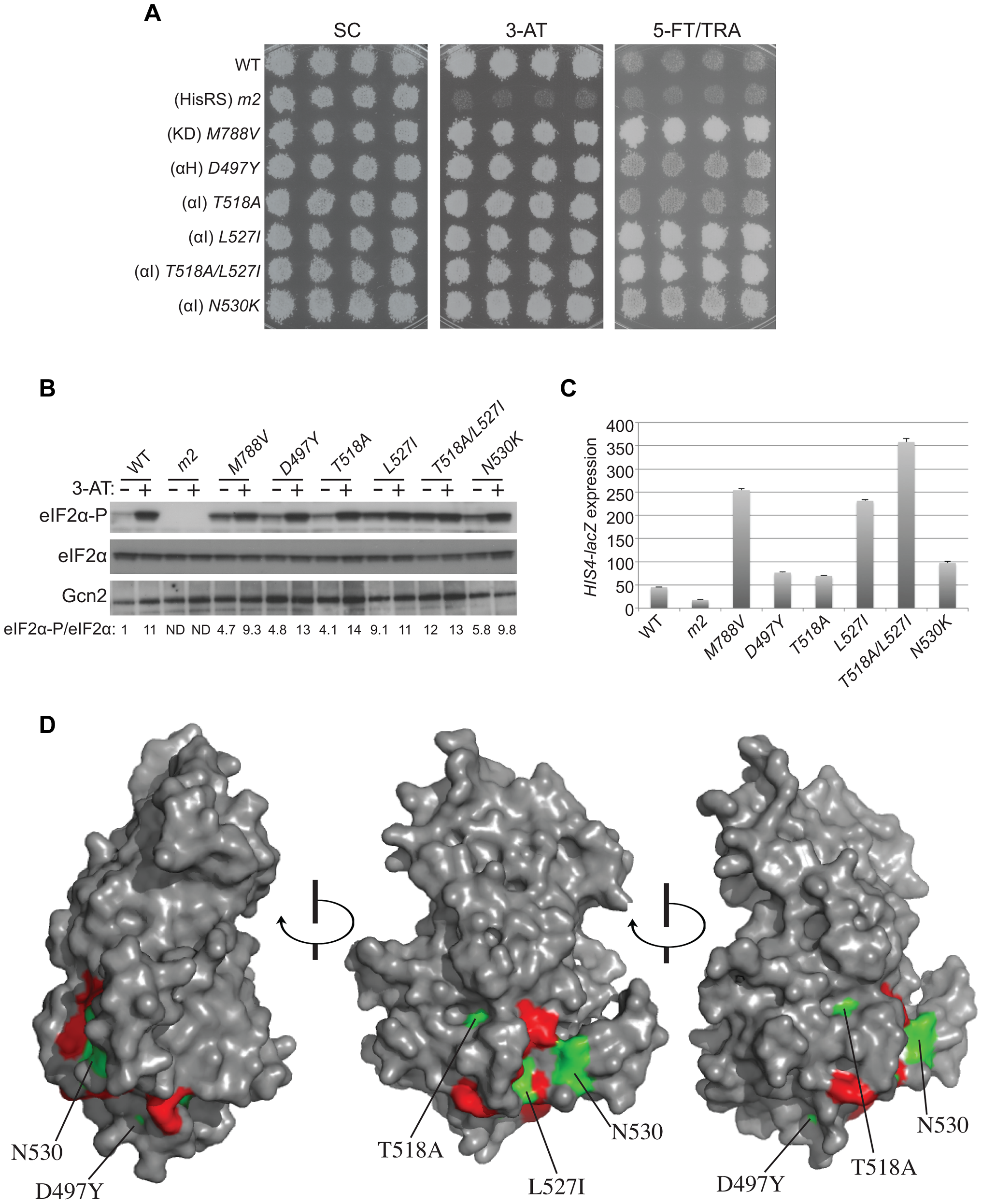 Mutations in the αI helix of the YKD constitutively activates Gcn2 <i>in vivo</i>.