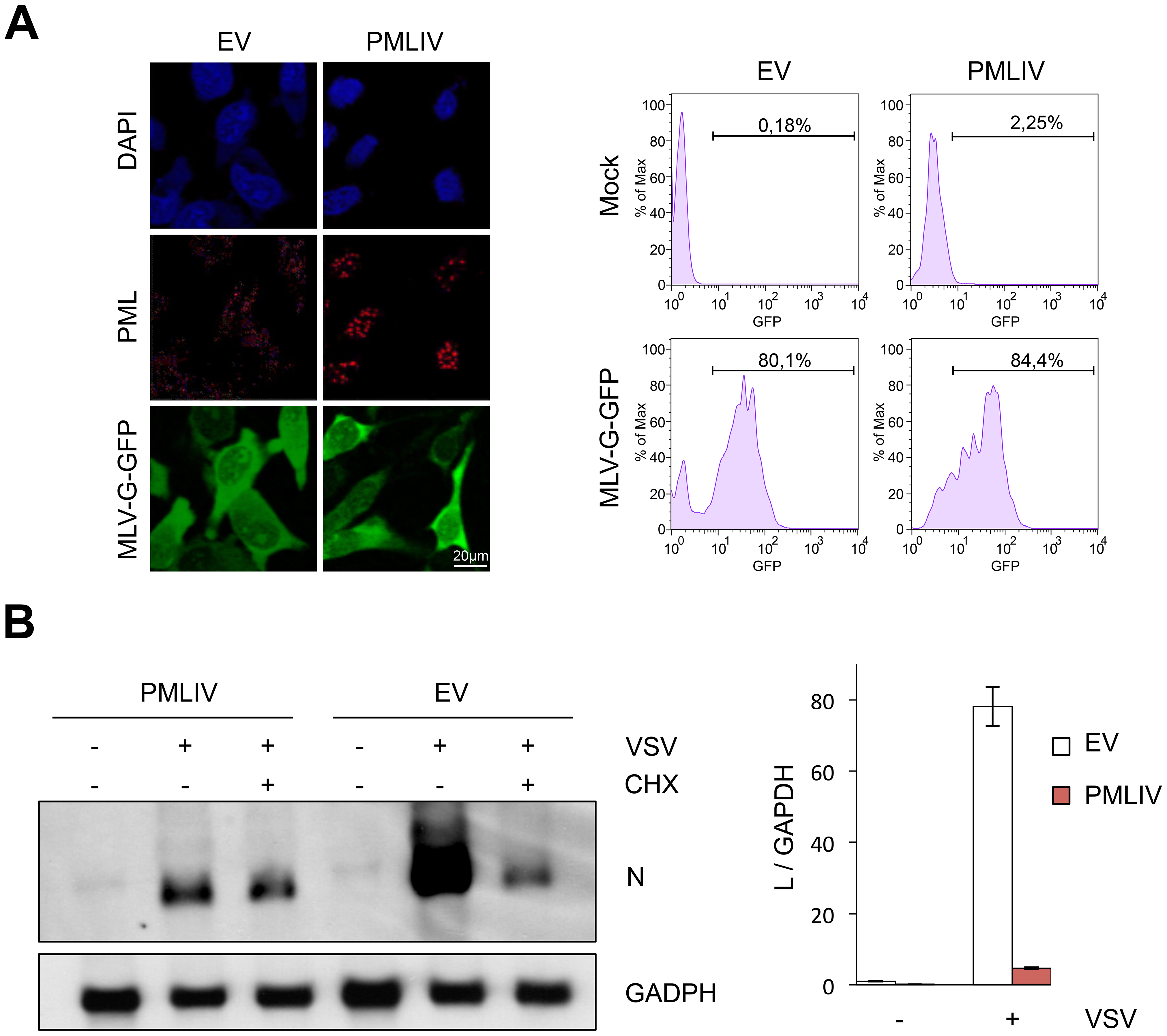 PMLIV does not alter VSV entry and inhibits viral transcription.