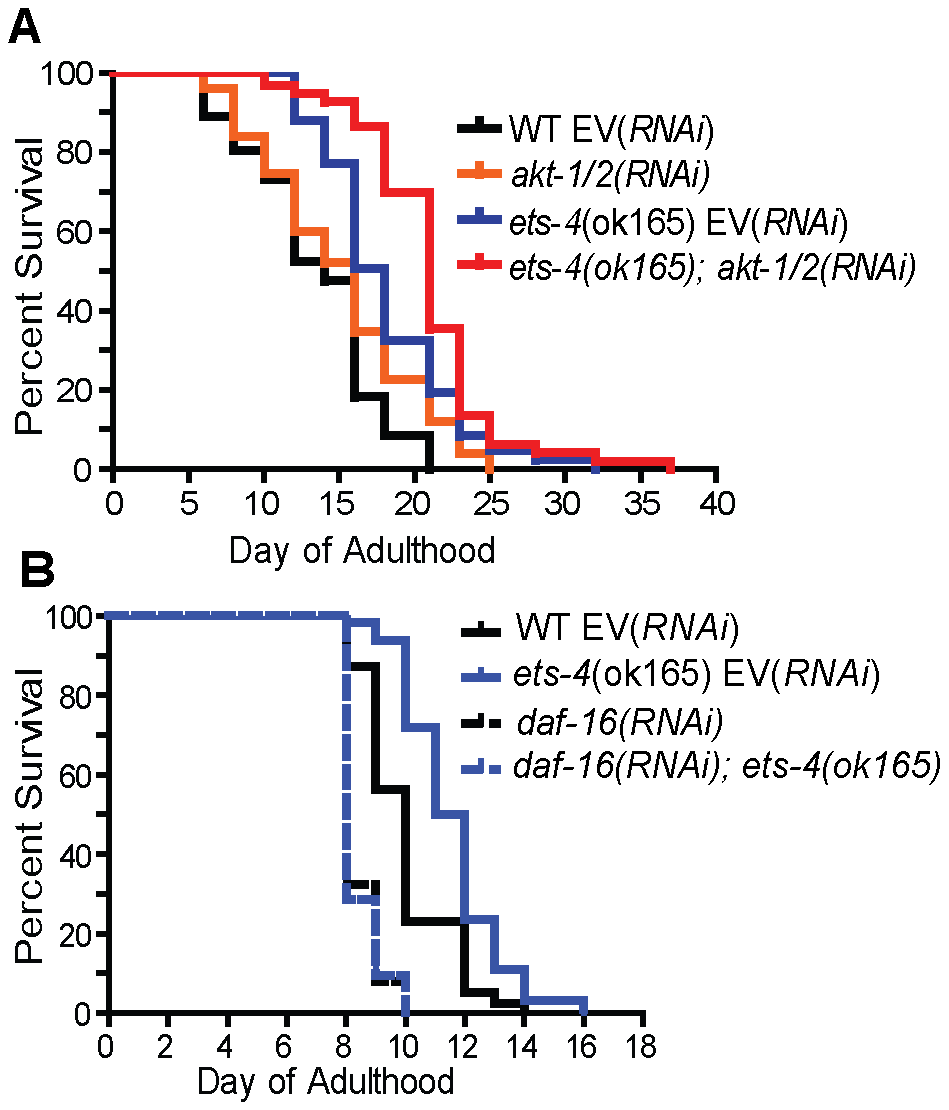 <i>ets-4</i> acts in parallel to the insulin/IGF-1 signaling pathway converging onto <i>daf-16</i>.