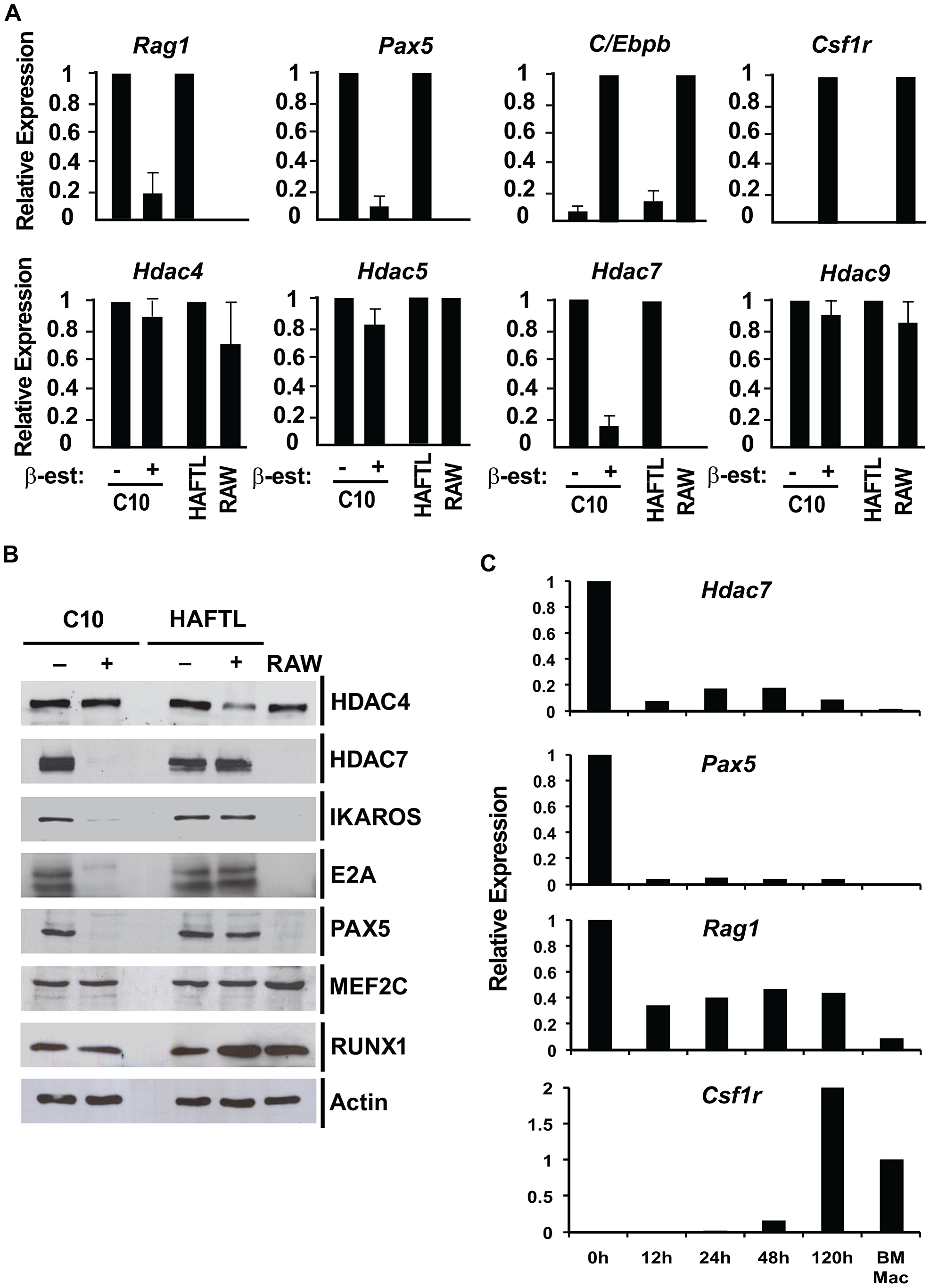 HDAC7 is down-regulated during the transifferentiation of pre-B cells into macrophages.