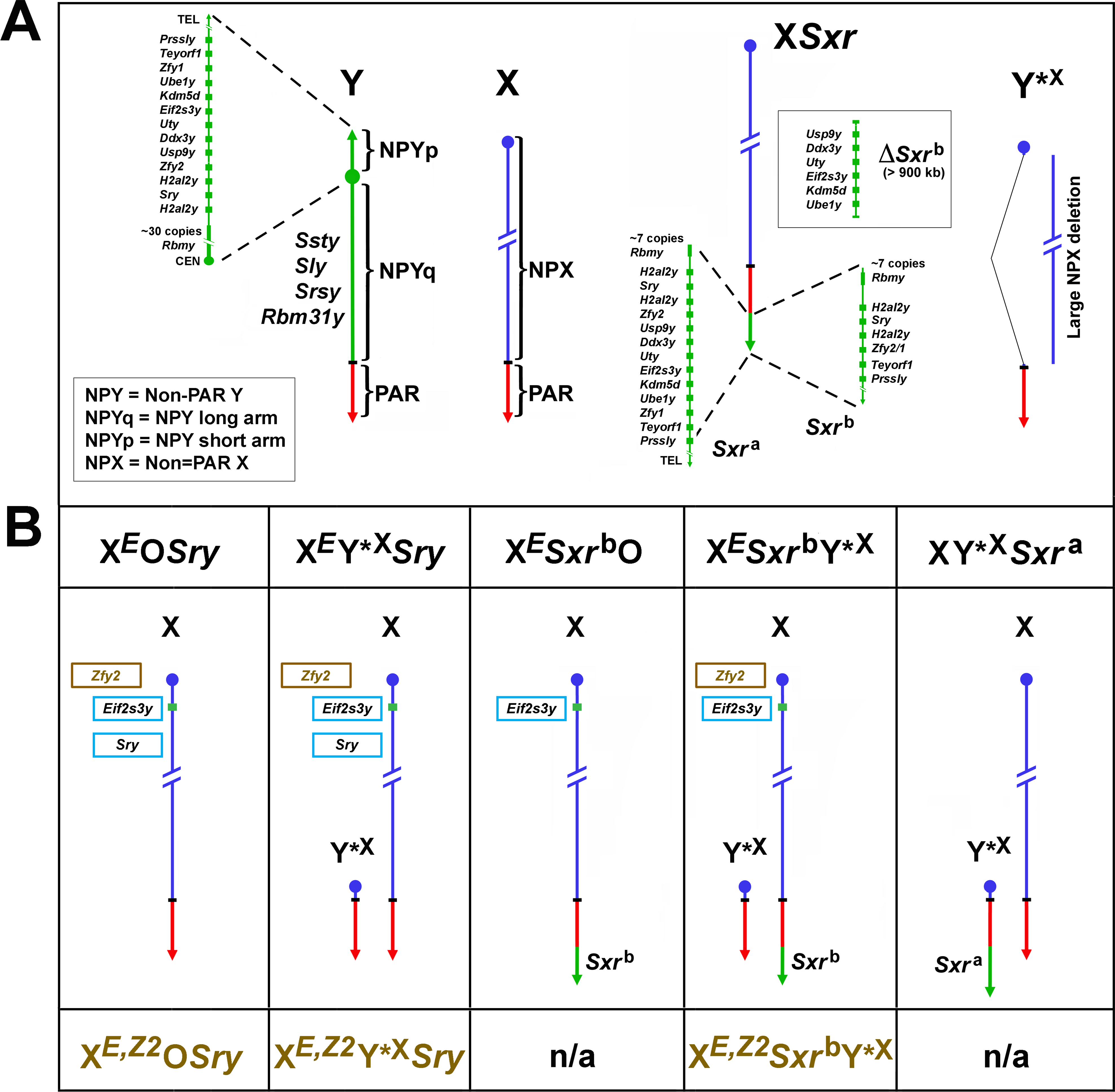 Mouse X and Y chromosomes, variant sex chromosomes, and mouse genotypes relevant to this study.