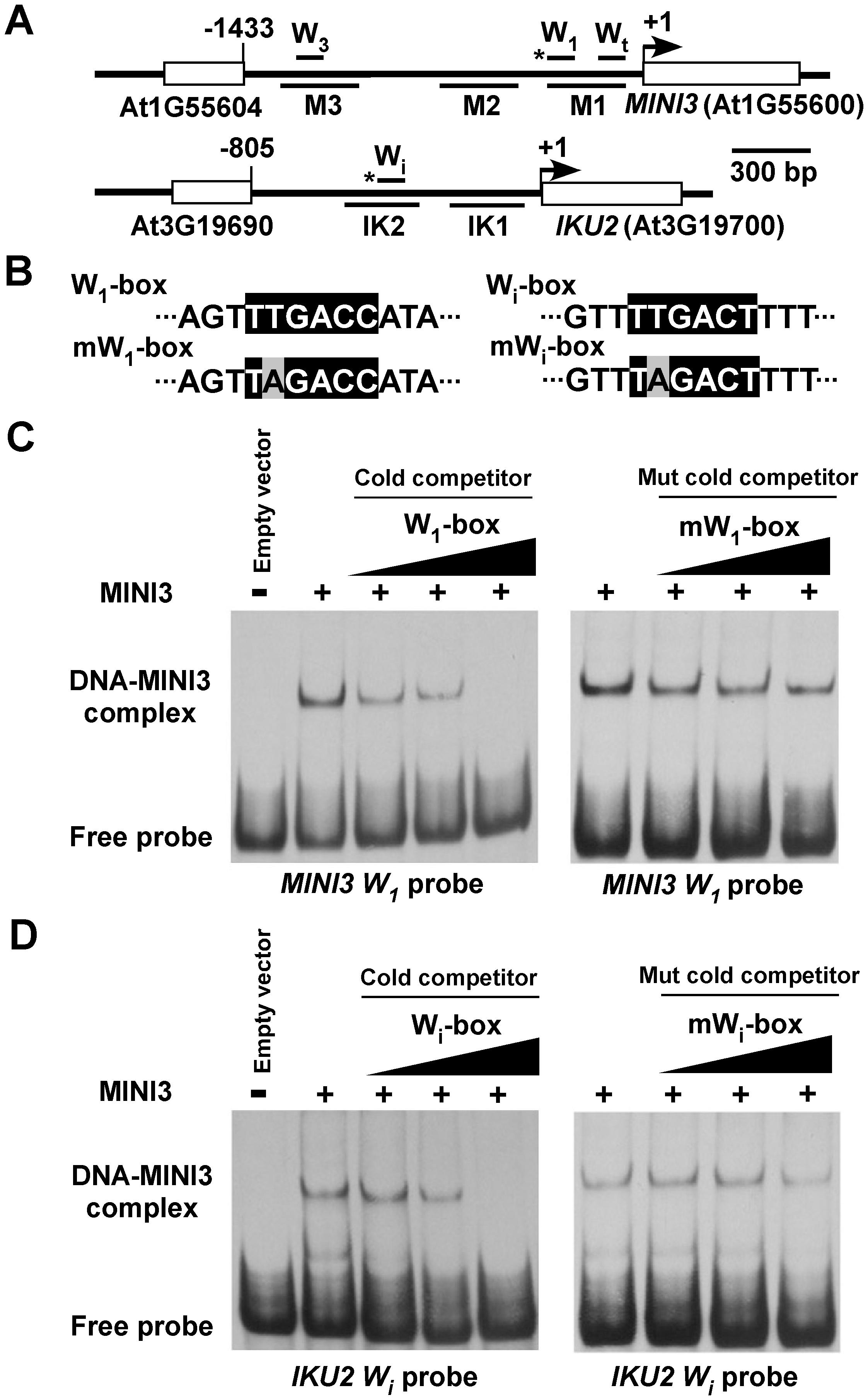 MINI3 binds to W-boxes in the <i>MINI3</i> and <i>IKU2</i> promoters.