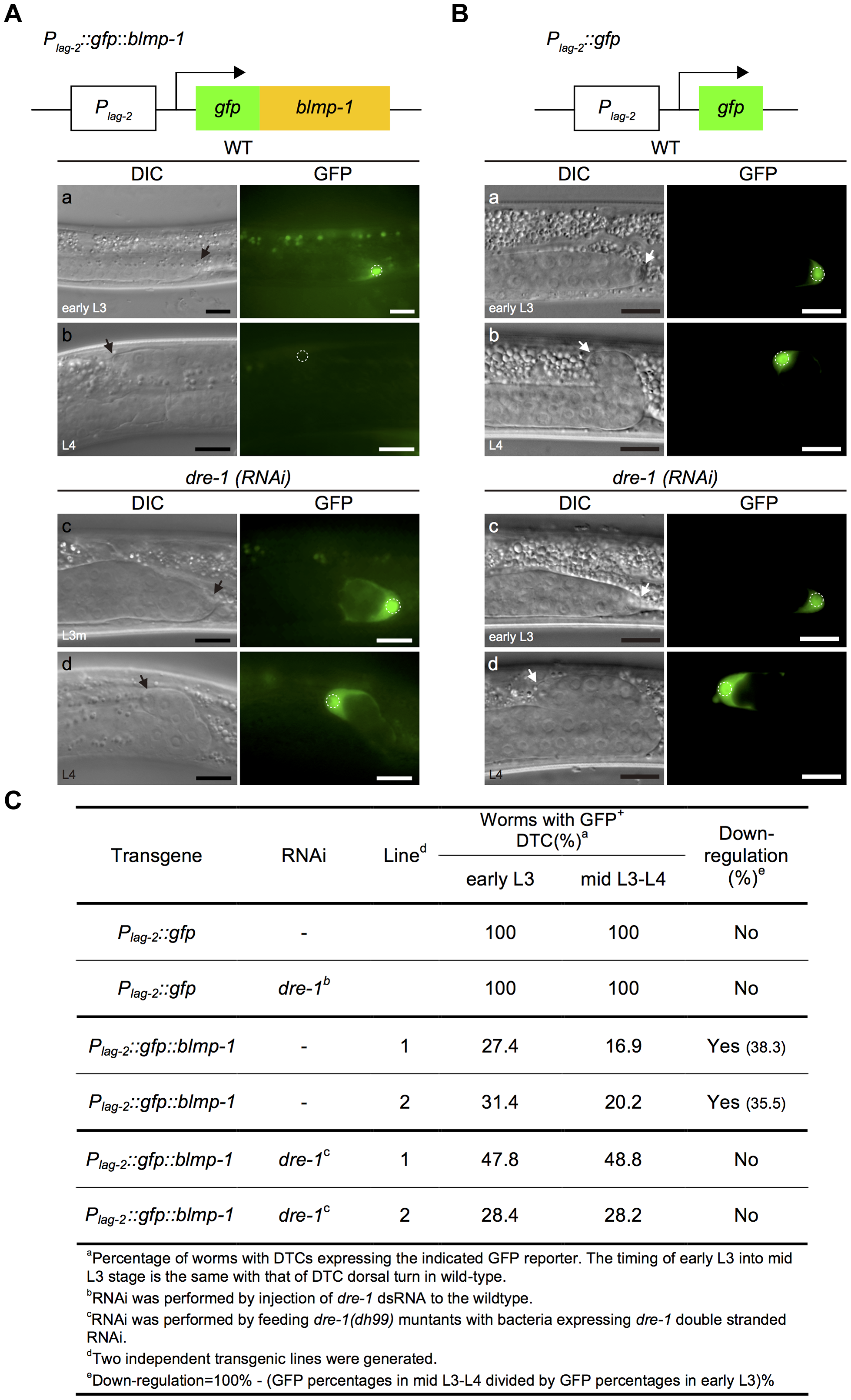 The stability of the GFP::BLMP-1 fusion protein is negatively regulated by <i>dre-1</i>.