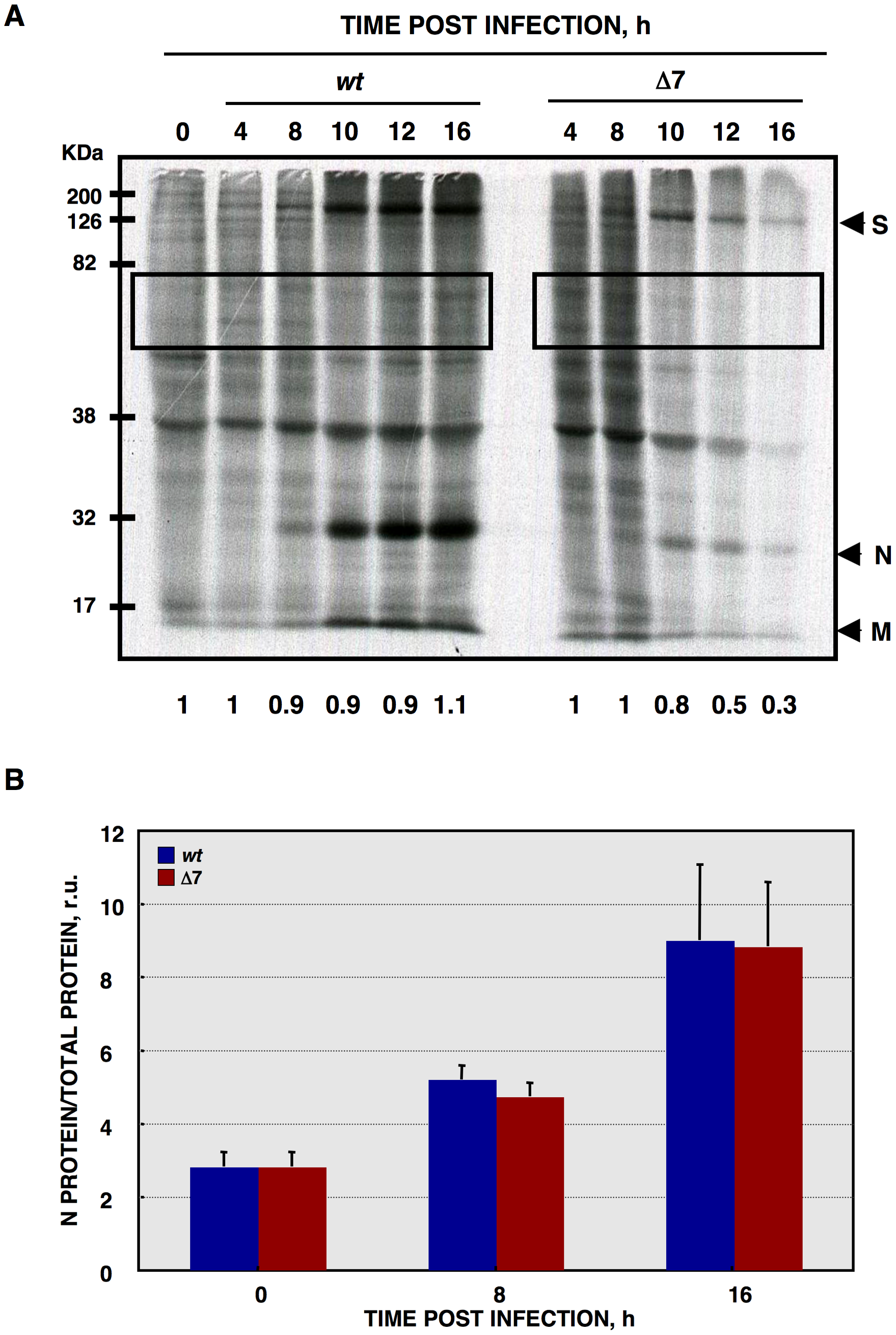 <i>De novo</i> protein synthesis in rTGEV infections.