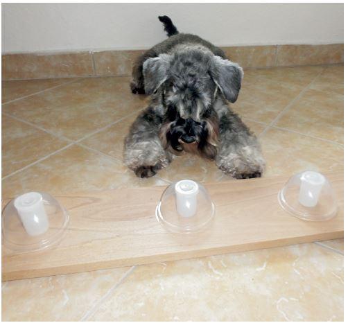 Rozlišení a označení pozitivního vzorku – pes označil pozitivní vzorek biologického materiálu v lineární řadě