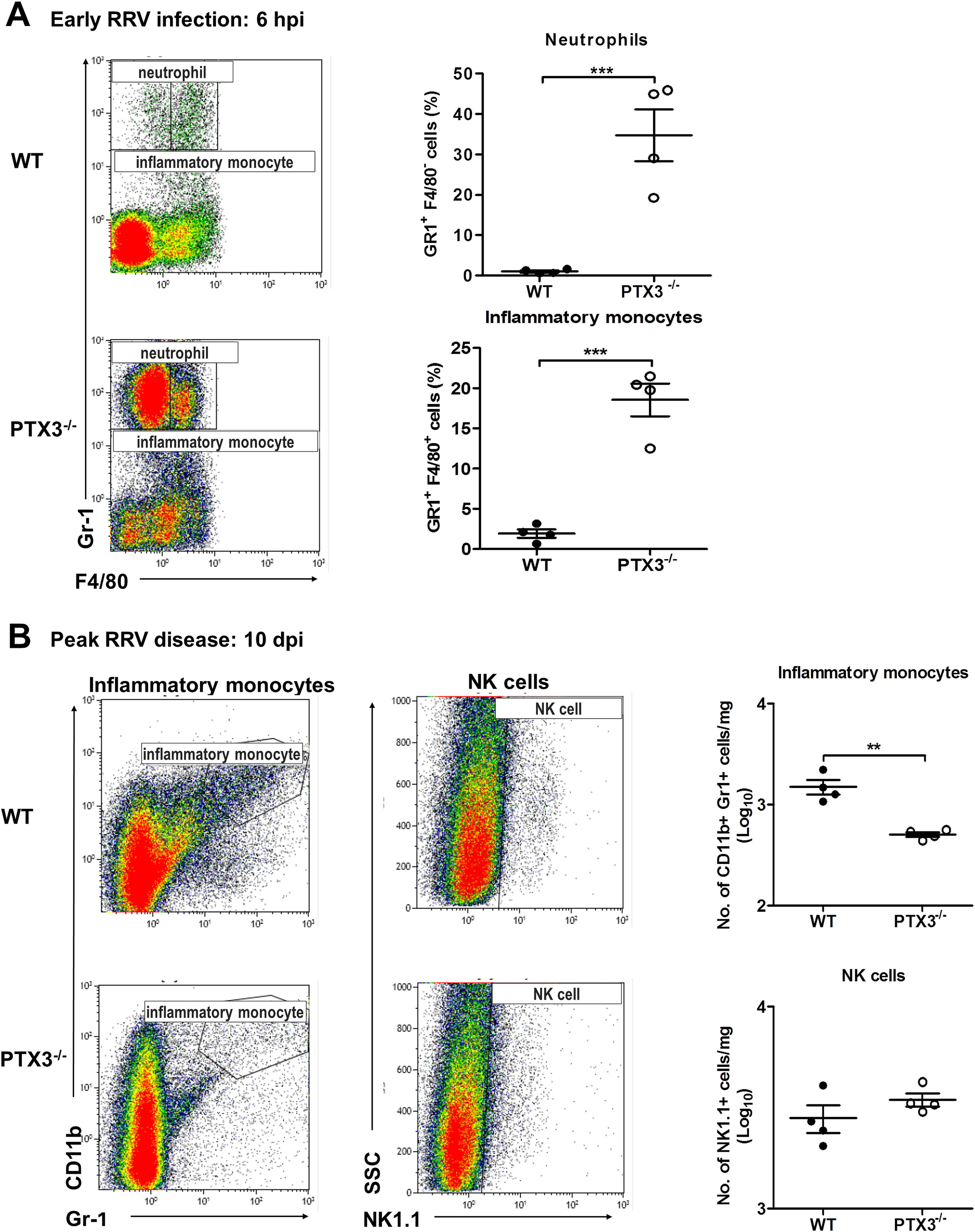 PTX3 delays cellular infiltration kinetics during RRV infection in mice.