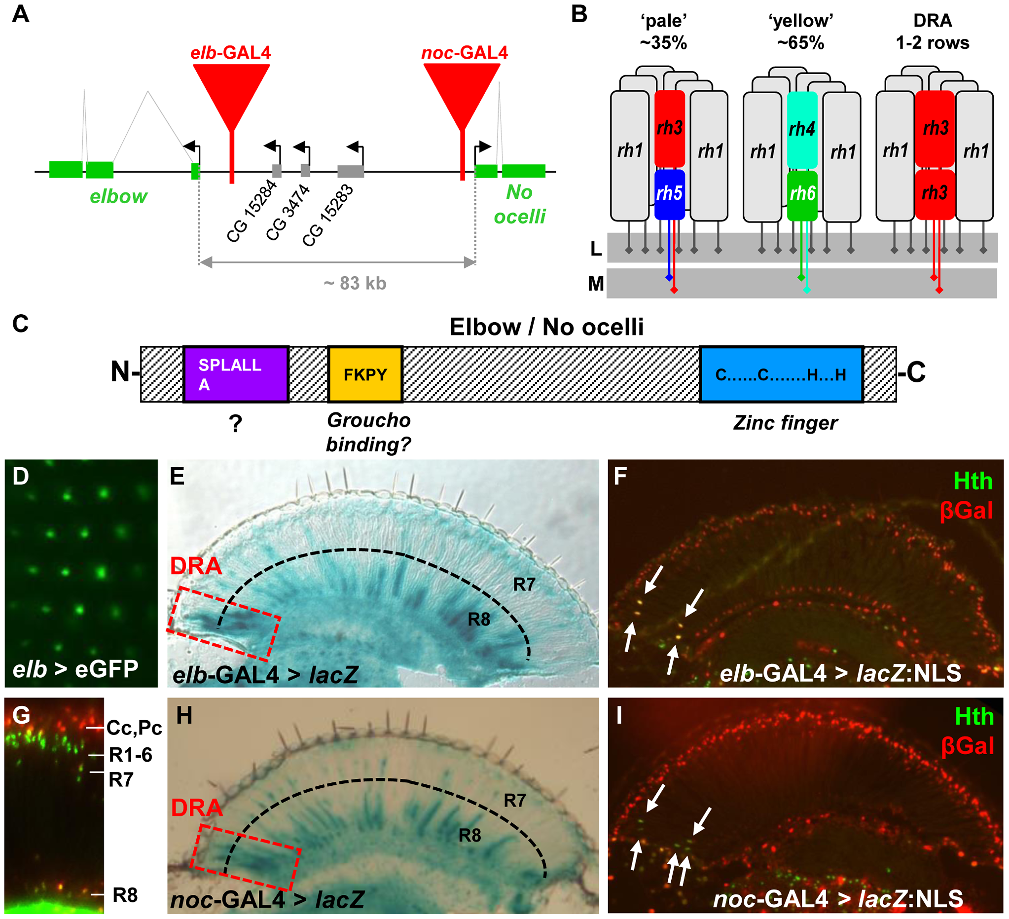 Expression of <i>elbow</i> (<i>elb</i>) and <i>No ocelli</i> (<i>noc</i>) in photoreceptors.