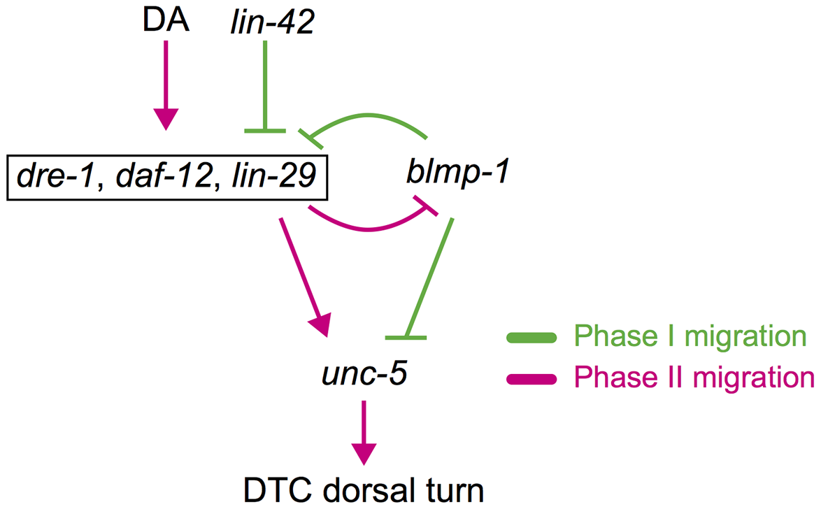 Spatiotemporal regulation of DTC migration.