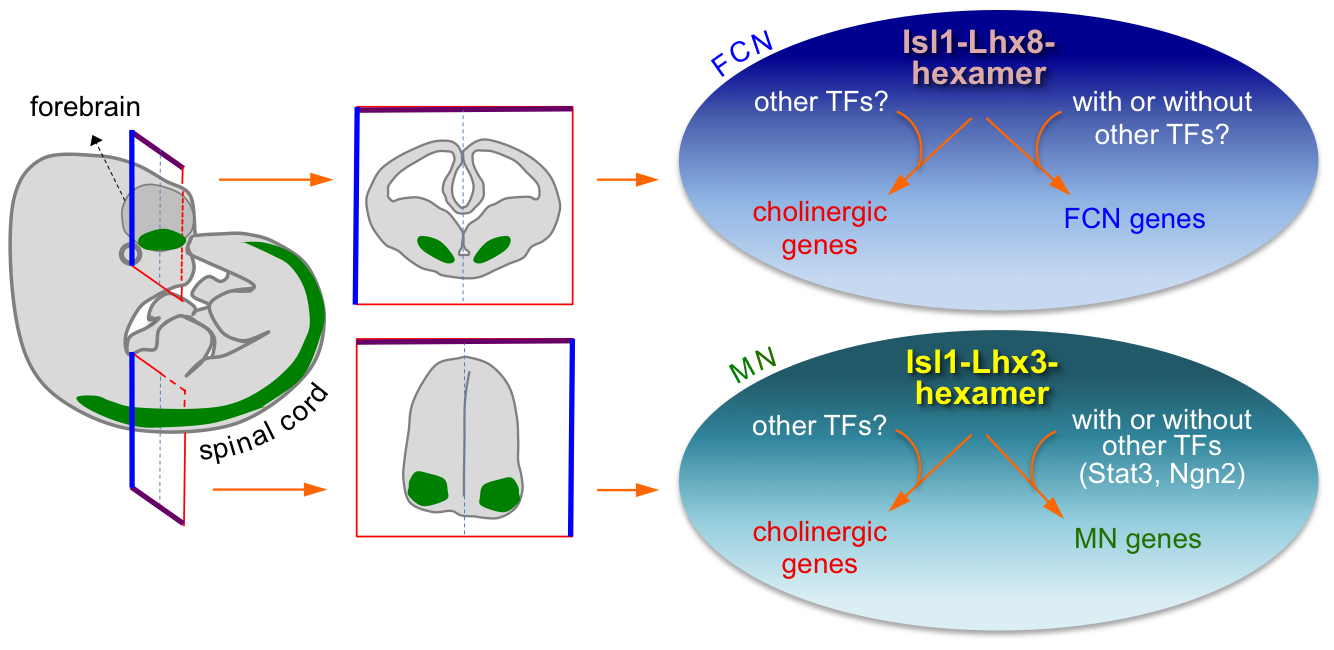 Isl1-Lhx8-hexamer and Isl1-Lhx3-hexamer complexes establish a cholinergic neuronal identity in FCNs and spinal MNs, respectively, by directly upregulating cholinergic gene battery.