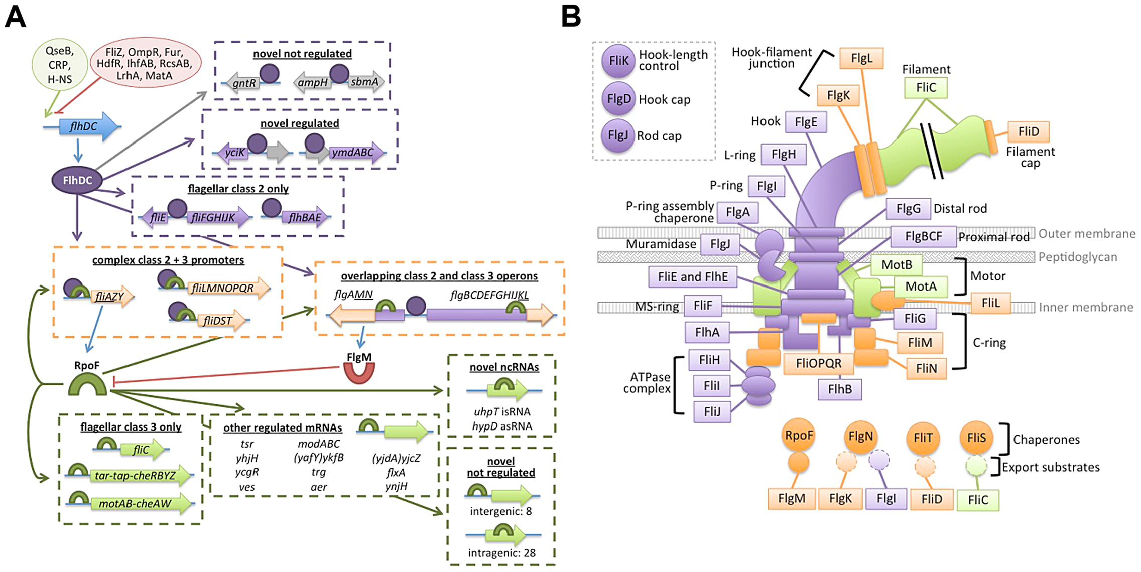 Updated flagellar transciption network and localization of dual-regulated targets.