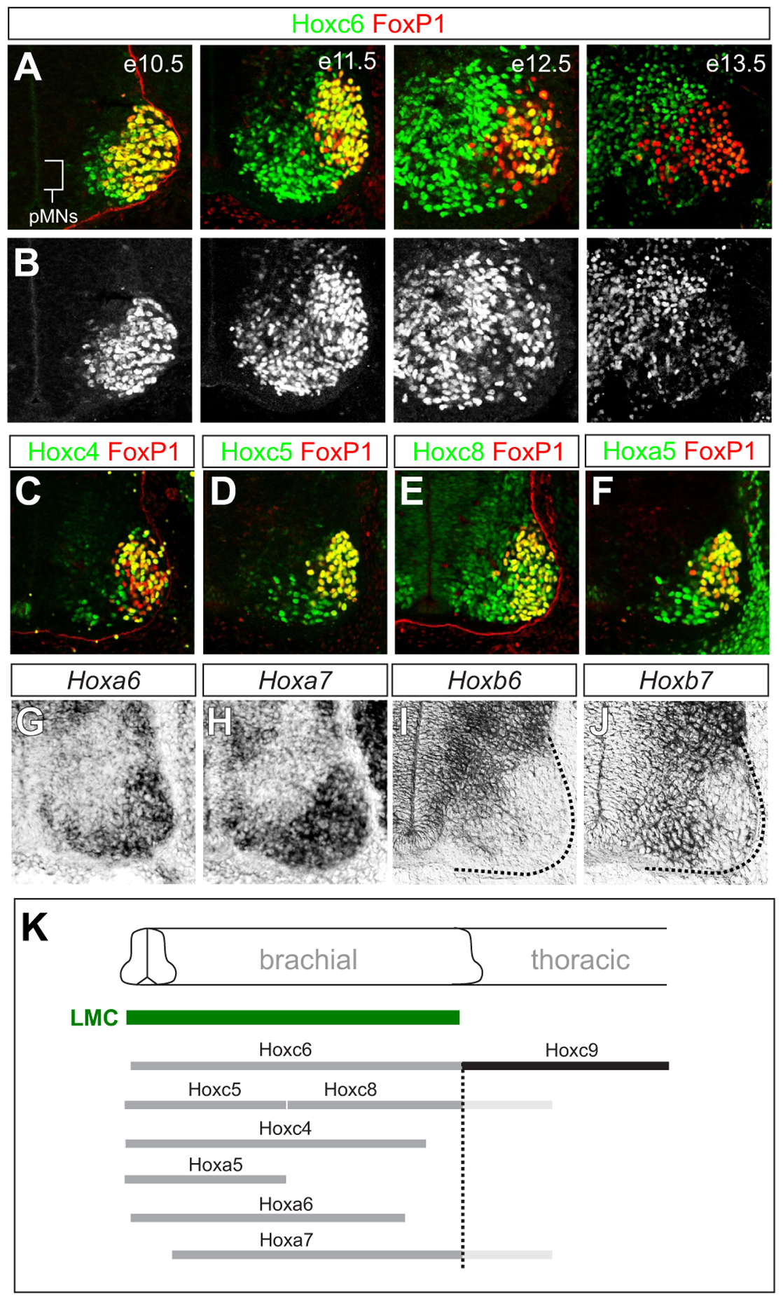 Dynamic expression of brachial <i>Hox</i> genes in the spinal cord.