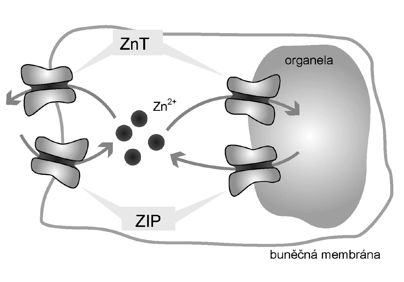 Zinkové transportéry<br> Legenda: Přenašeče ZIP zodpovídají za transport Zn<sup>2+</sup> do cytoplazmy z extracelulárního prostředí a z organel. Naopak přenašeče ZnT jsou zodpovědné za transport ven z cytoplazmy, tedy do organel a do extracelulárního prostředí.