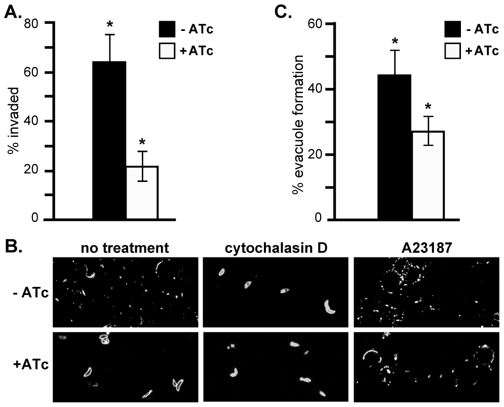 RNG2 is required for invasion, motility and rhoptry evacuole formation.