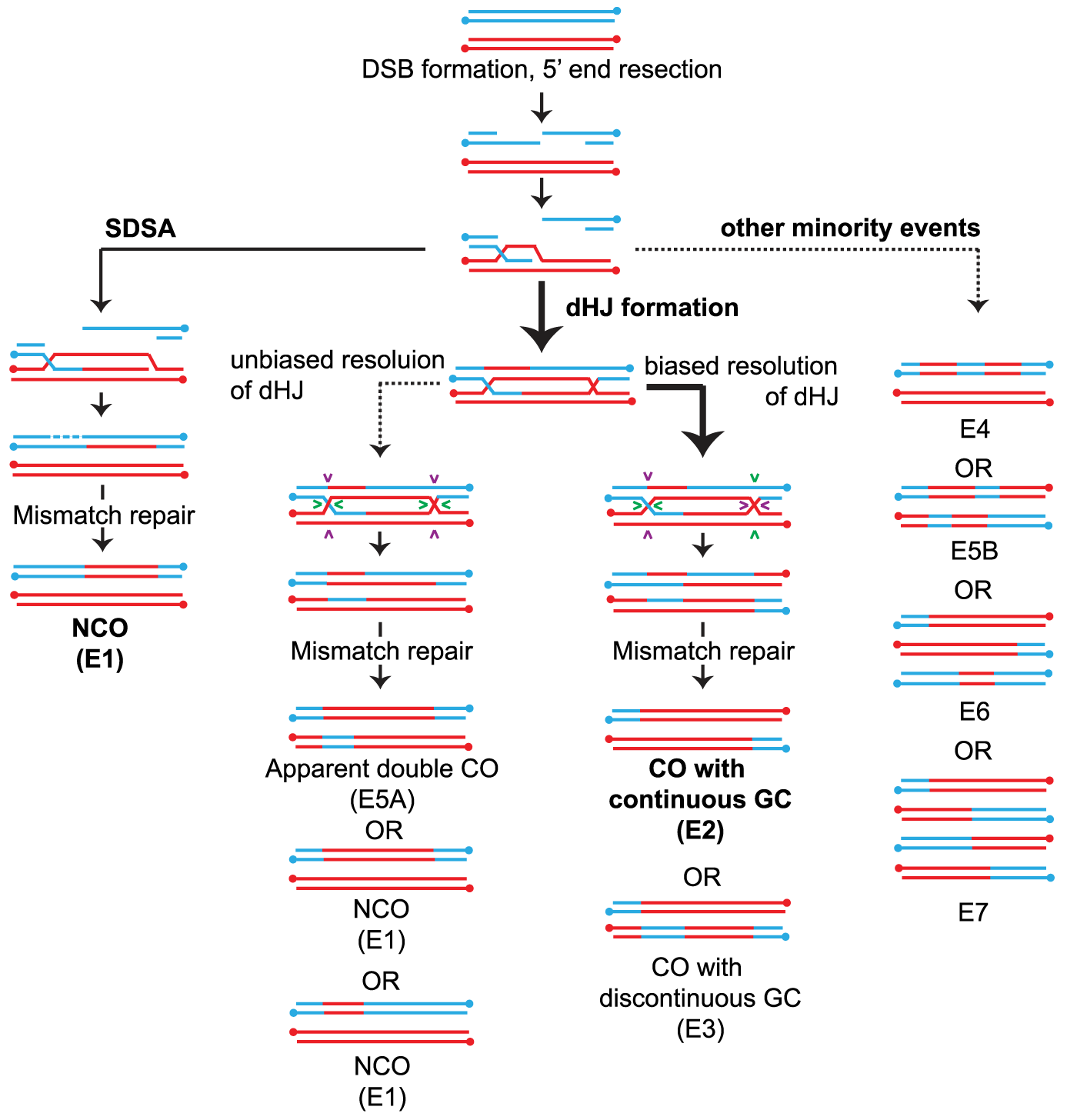 Overview of meiotic recombination pathways.
