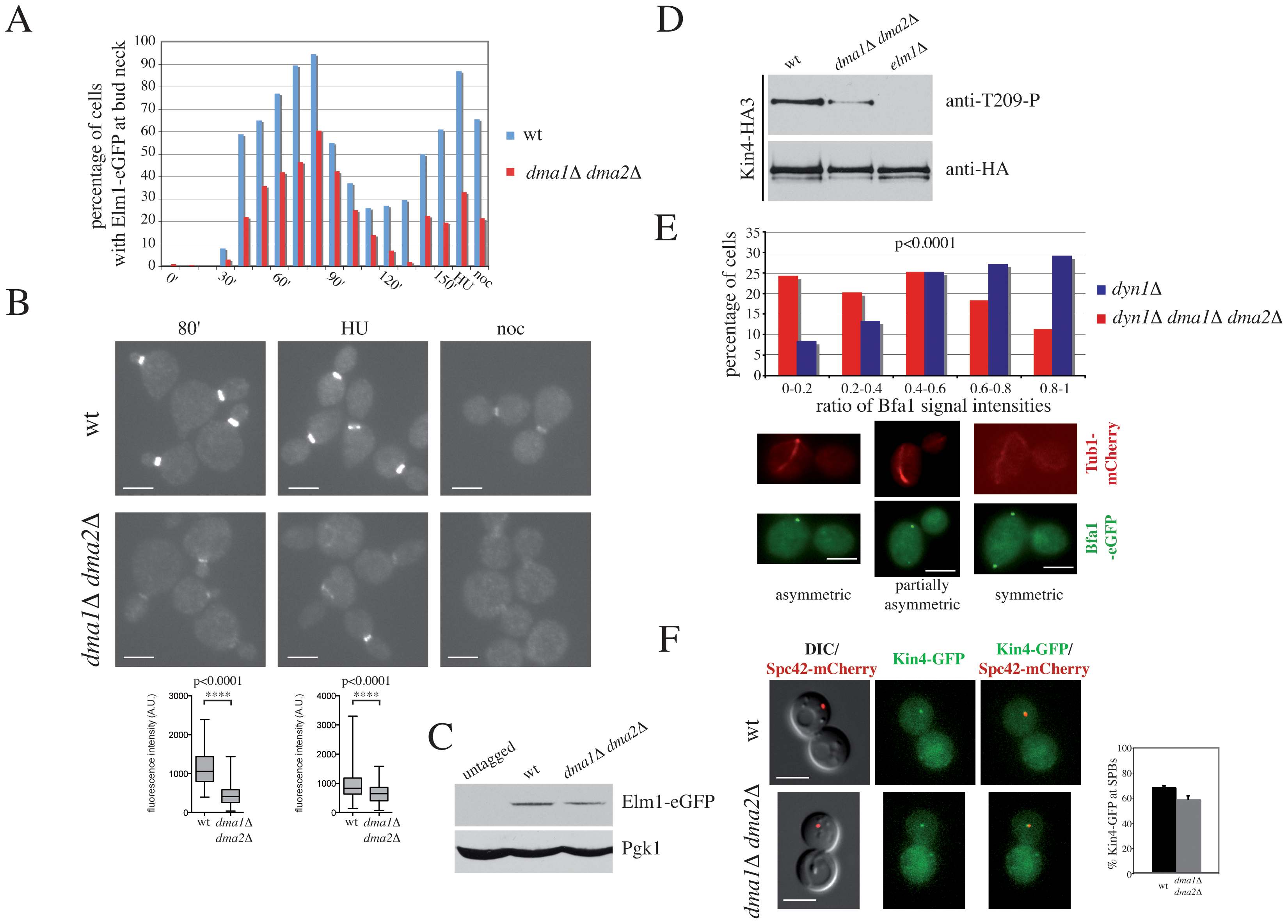 Dma proteins control Elm1 recruitment to the bud neck and Kin4 activation.