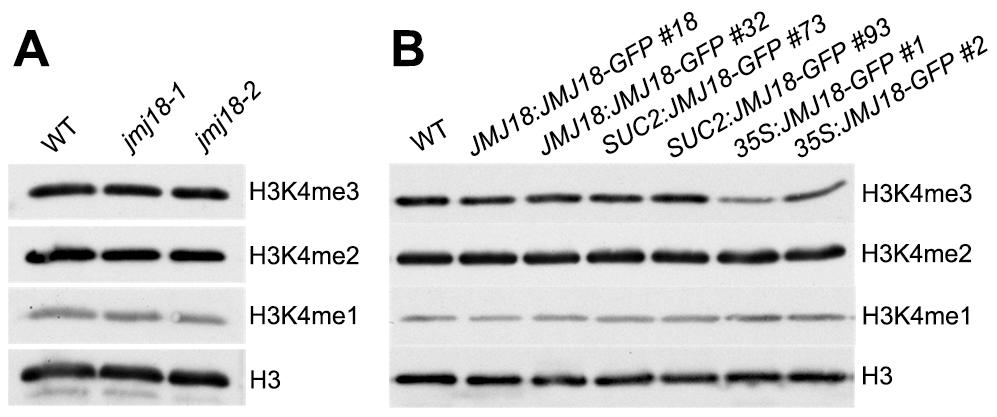 Global H3K4 methylation levels in wild-type, <i>jmj18</i>, and <i>JMJ18</i> overexpressor lines.
