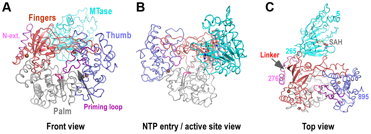 Global views of JEV NS5 structure.