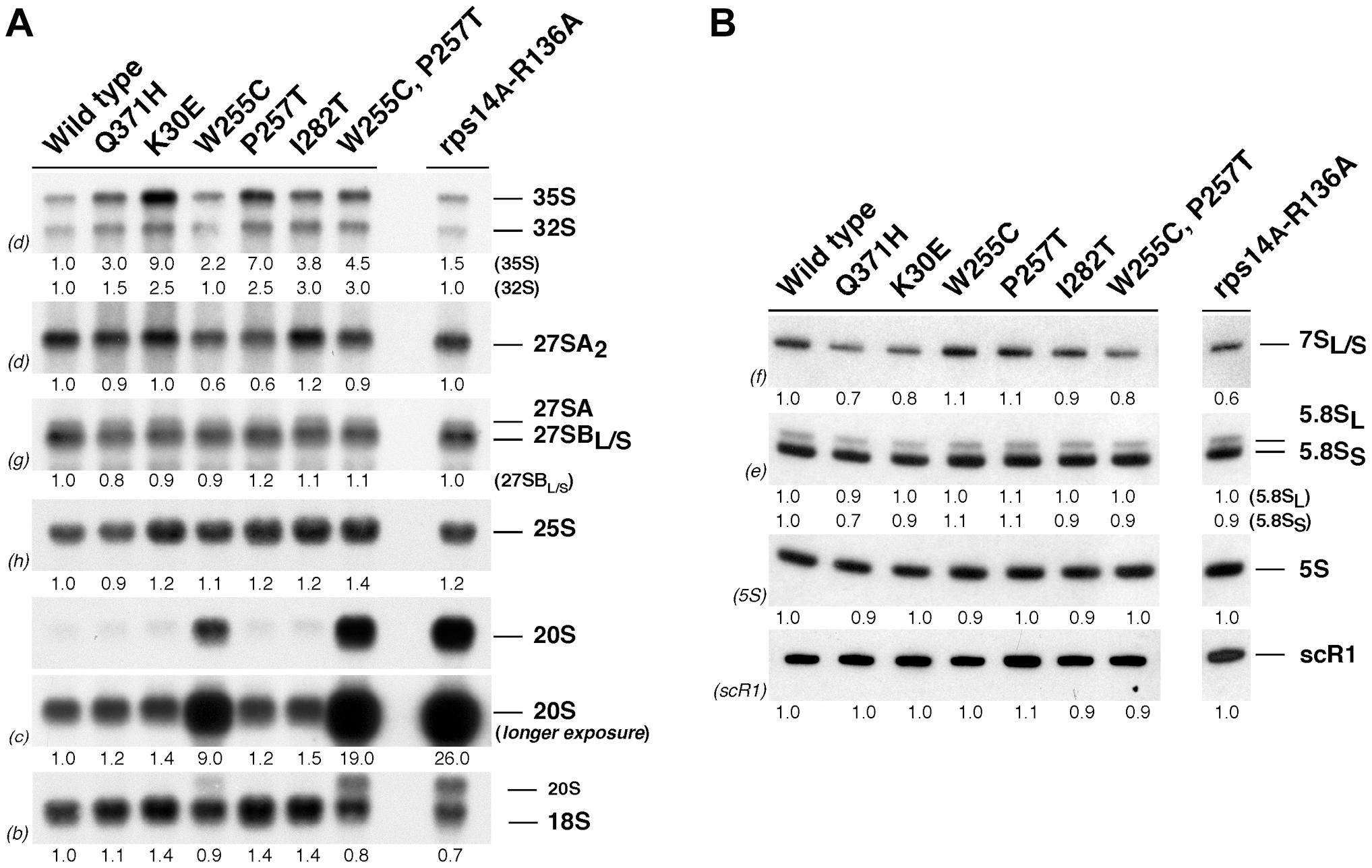 The <i>rpl3</i>[W255C] mutant accumulates 20S pre-rRNA.