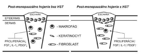Proliferačná fáza hojenia rán prebieha v post-menopauzálnom období života výrazne spomalene. Charakteristická je znížená expresia viacerých rastových faktorov vrátane FGF, IL-1 a PDGF, čo vedie k inhibícii tvorby granulačného tkaniva. HST je schopná stimulovať hojenie až na úroveň normálneho pre-menopauzálneho stavu. HST – hormonálna substitučná terapia, FGF – fibroblastový rastový faktor, IL-1 – interleukín 1, PDGF – rastový faktor odvodený od krvných doštičiek