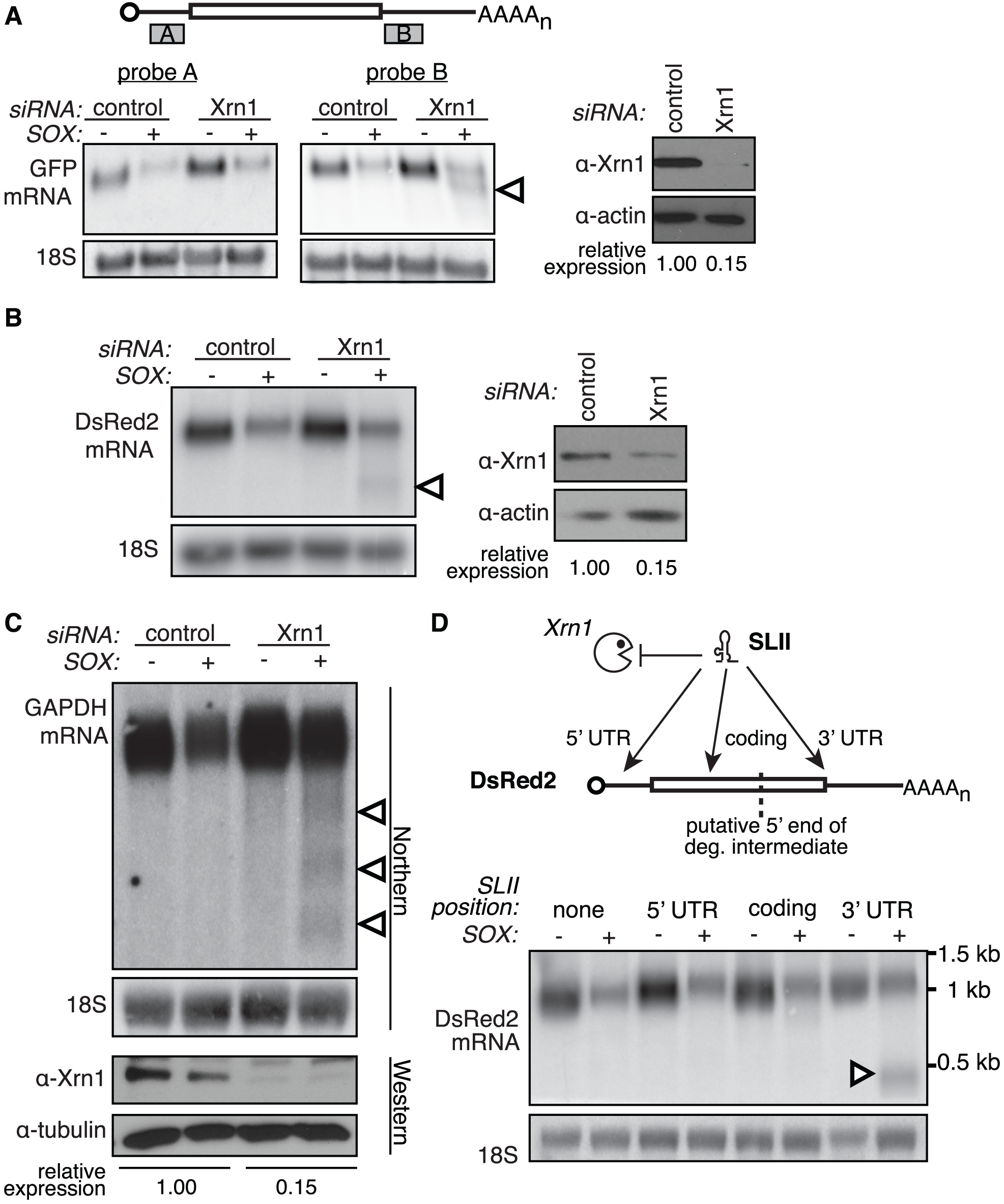 Xrn1 is required for the removal of a 3′ intermediate during SOX-mediated mRNA degradation.