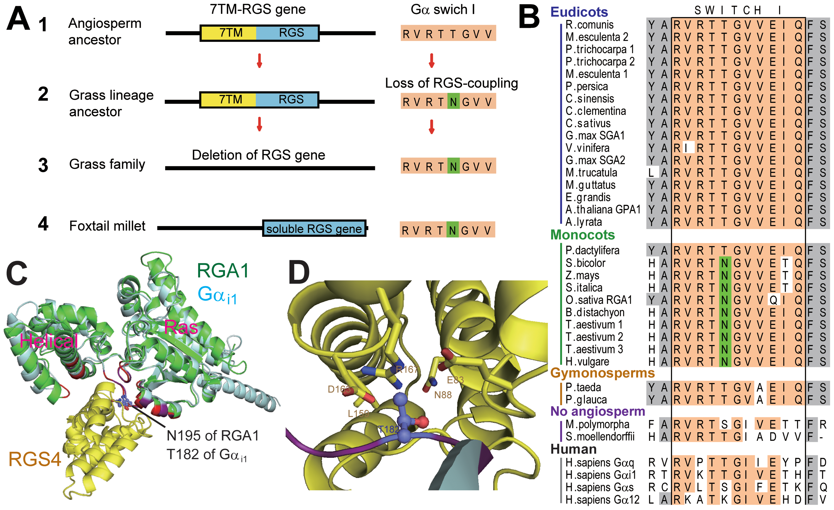 Evolution of monocot Gα and monocot specific loss of a 7TM-RGS gene.
