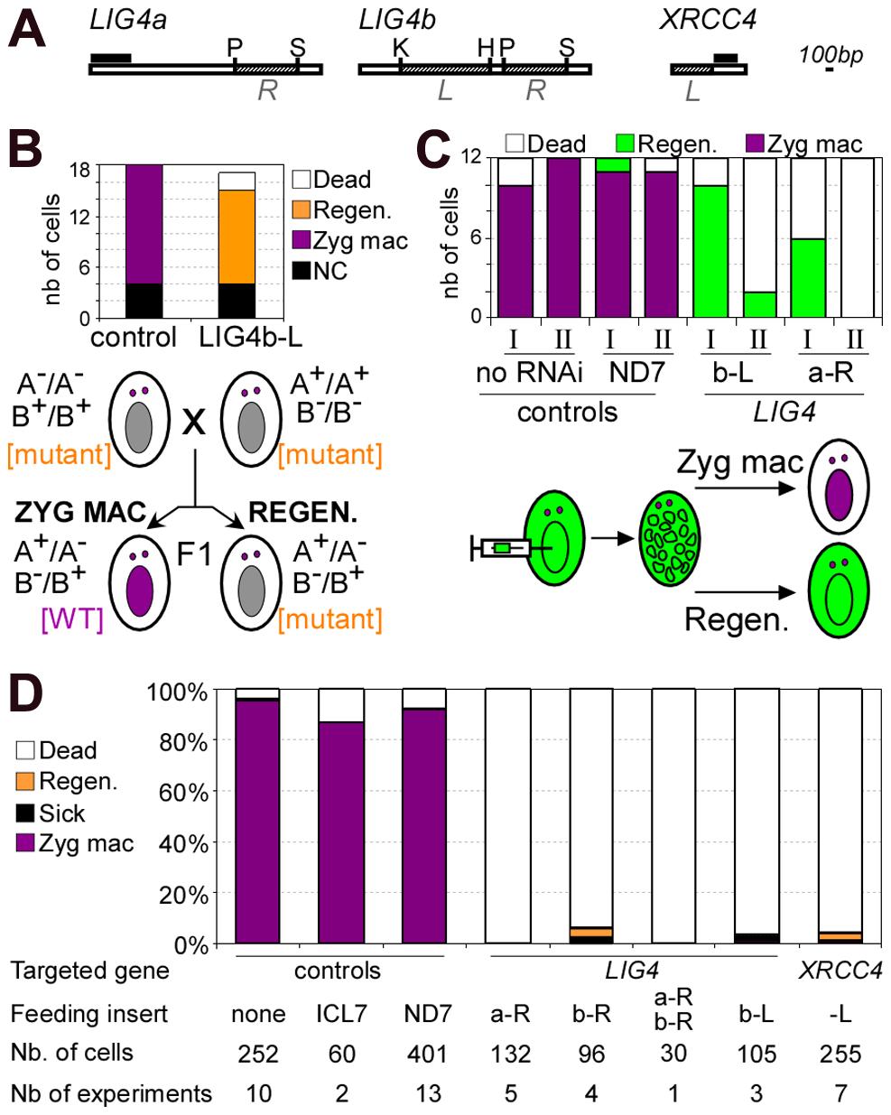 Analysis of sexual progeny of <i>LIG4</i>-silenced cells.
