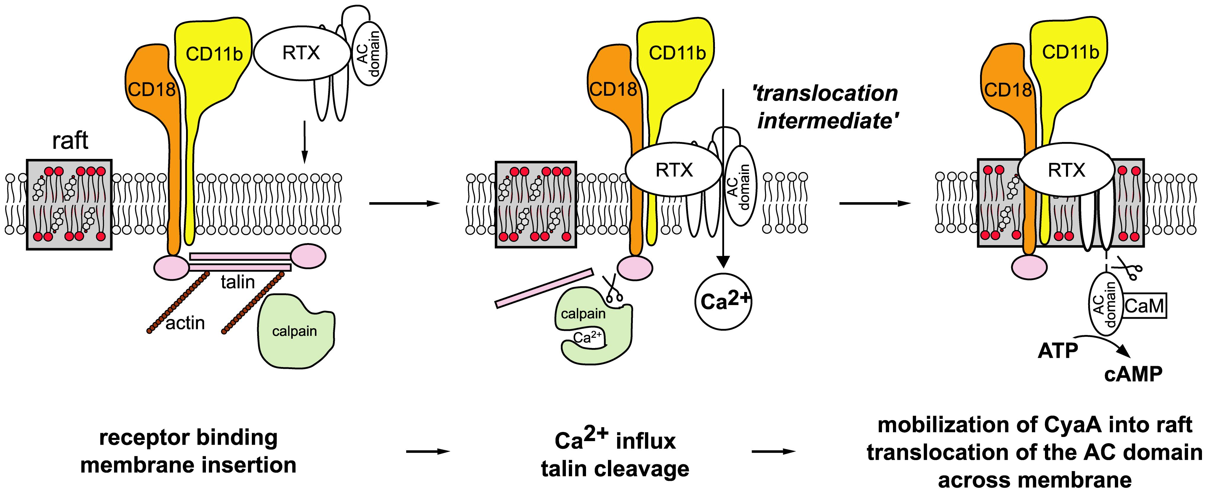 Model of CyaA translocation across target cell membrane.