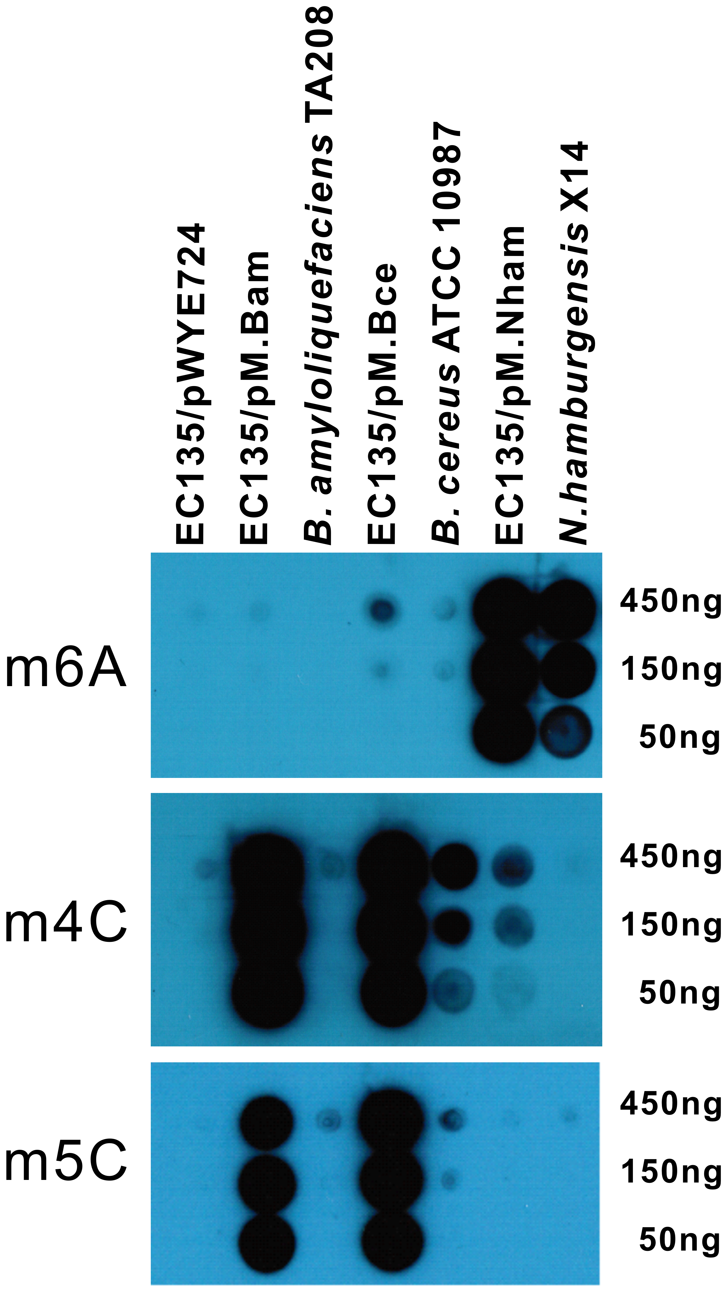 Dot blot assay for co-expression of multiple MTases.