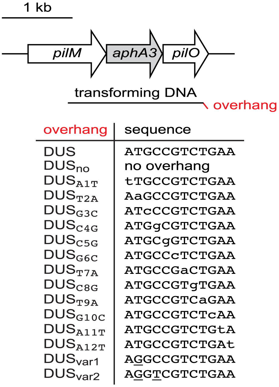 Schematic cartoon, drawn to scale, of transforming DNAs used in this study.