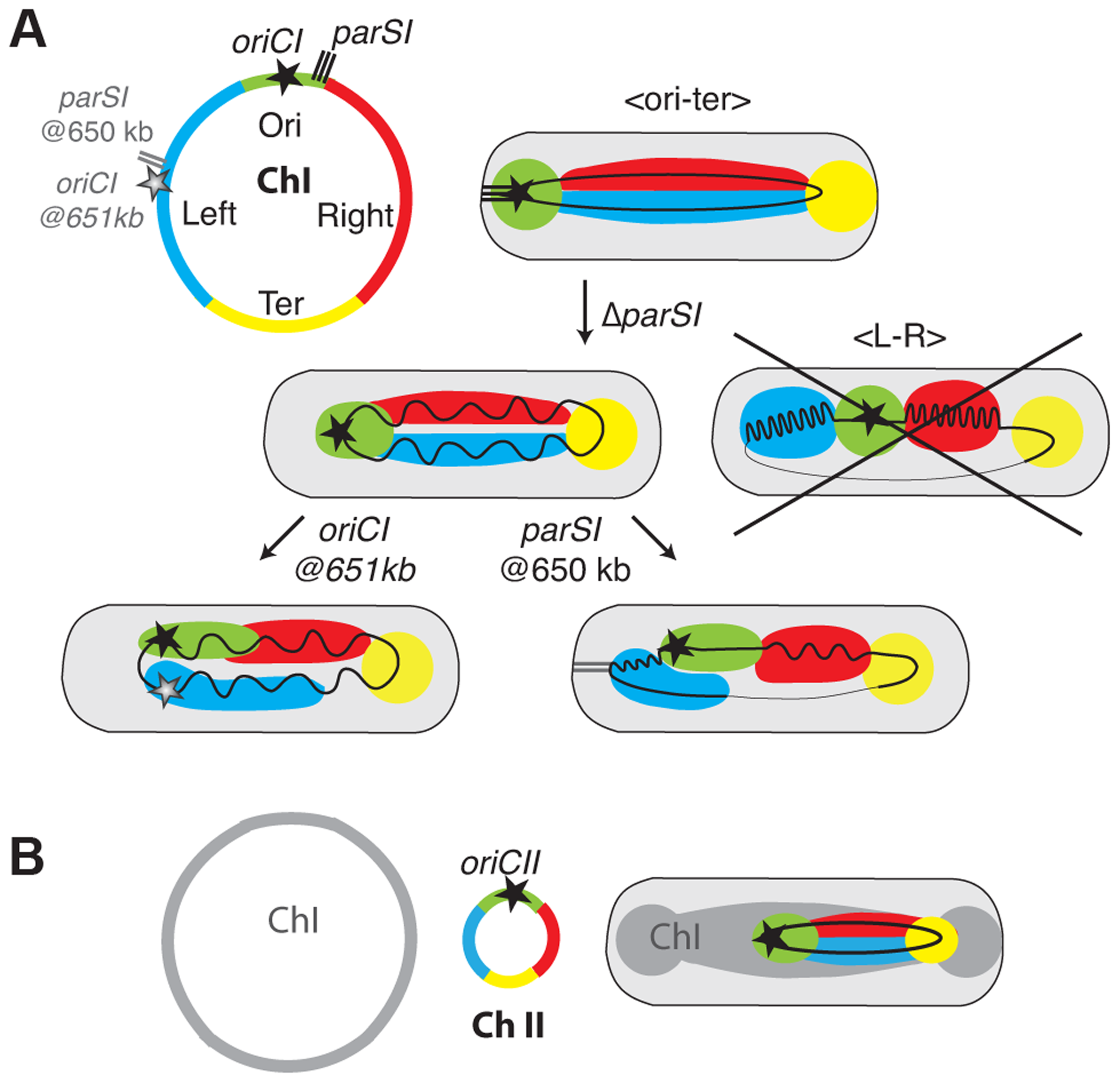Models of chromosome I and II organisation and reorganisations by <i>parS1</i> and <i>oriC1</i> actions.