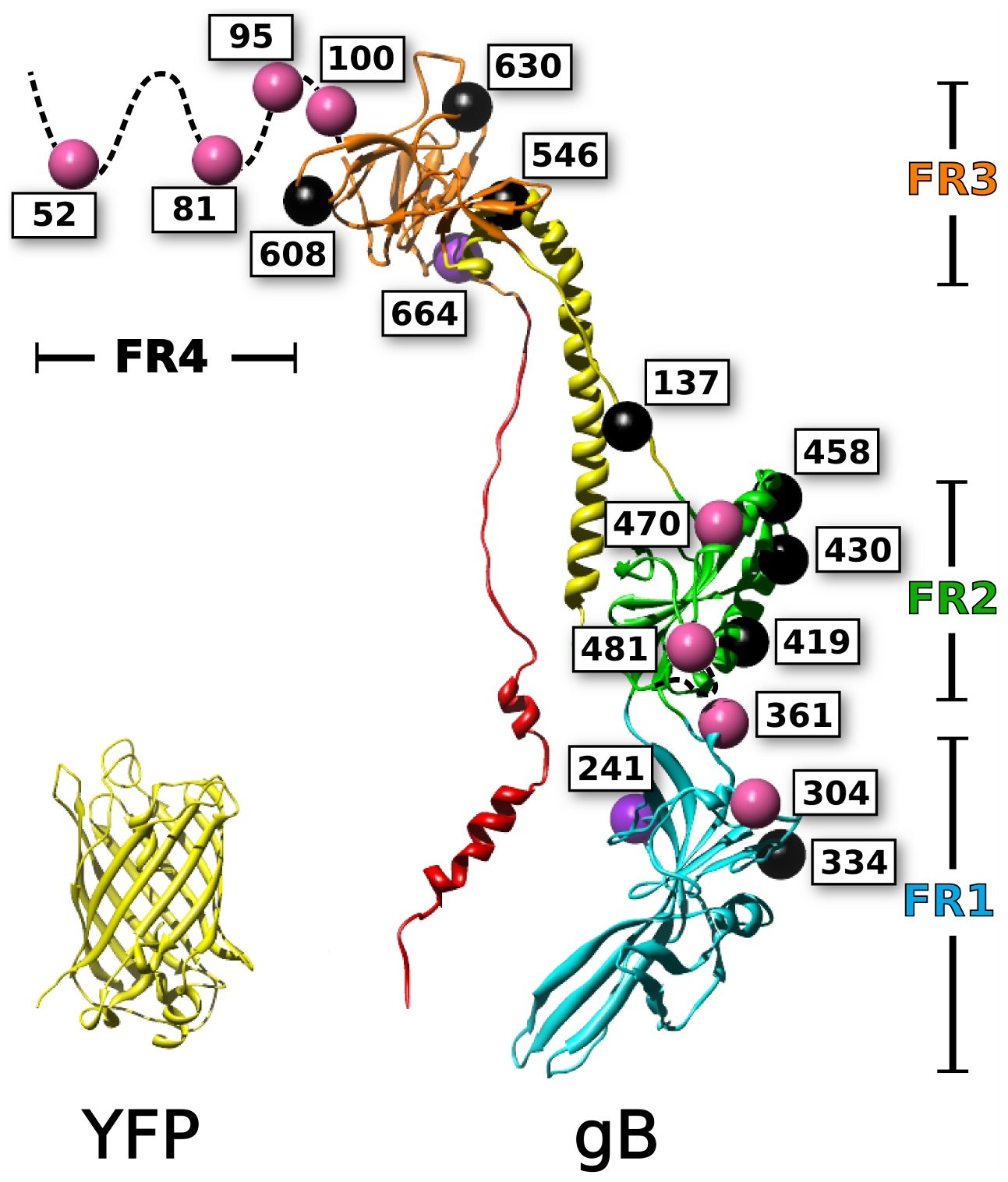Mapping of fluorescent protein insertions on the gB crystal structure.