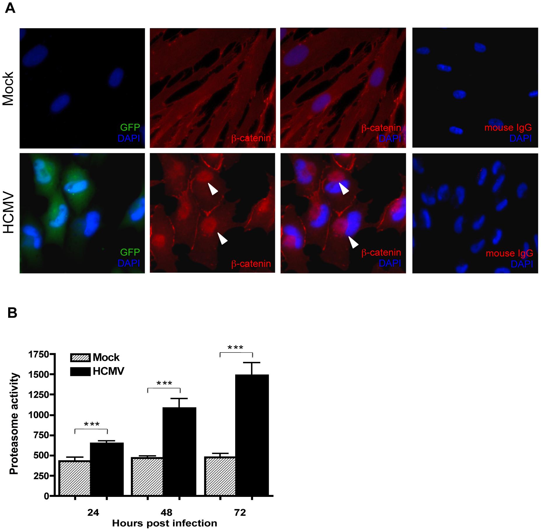 β-catenin aggregates at a central juxtanuclear location in HCMV-infected HFFs.