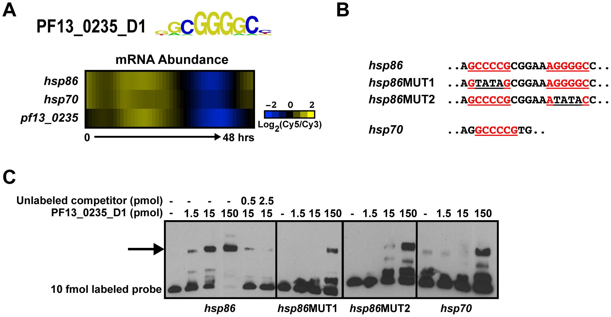 PF13_0235_D1 binds the G-box and is a putative regulator of heat shock genes.