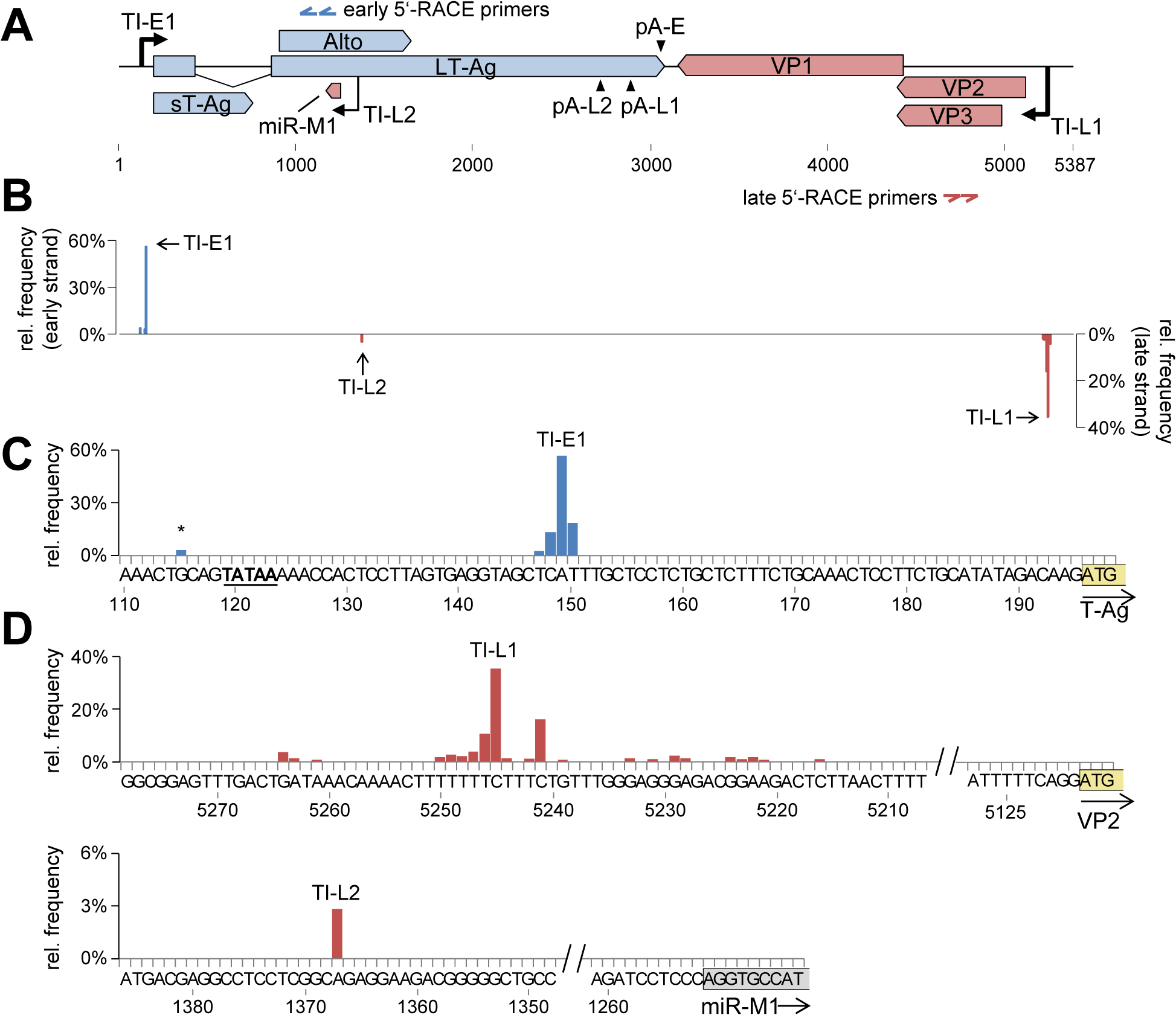 Mapping of early and late strand transcriptional initiation sites.