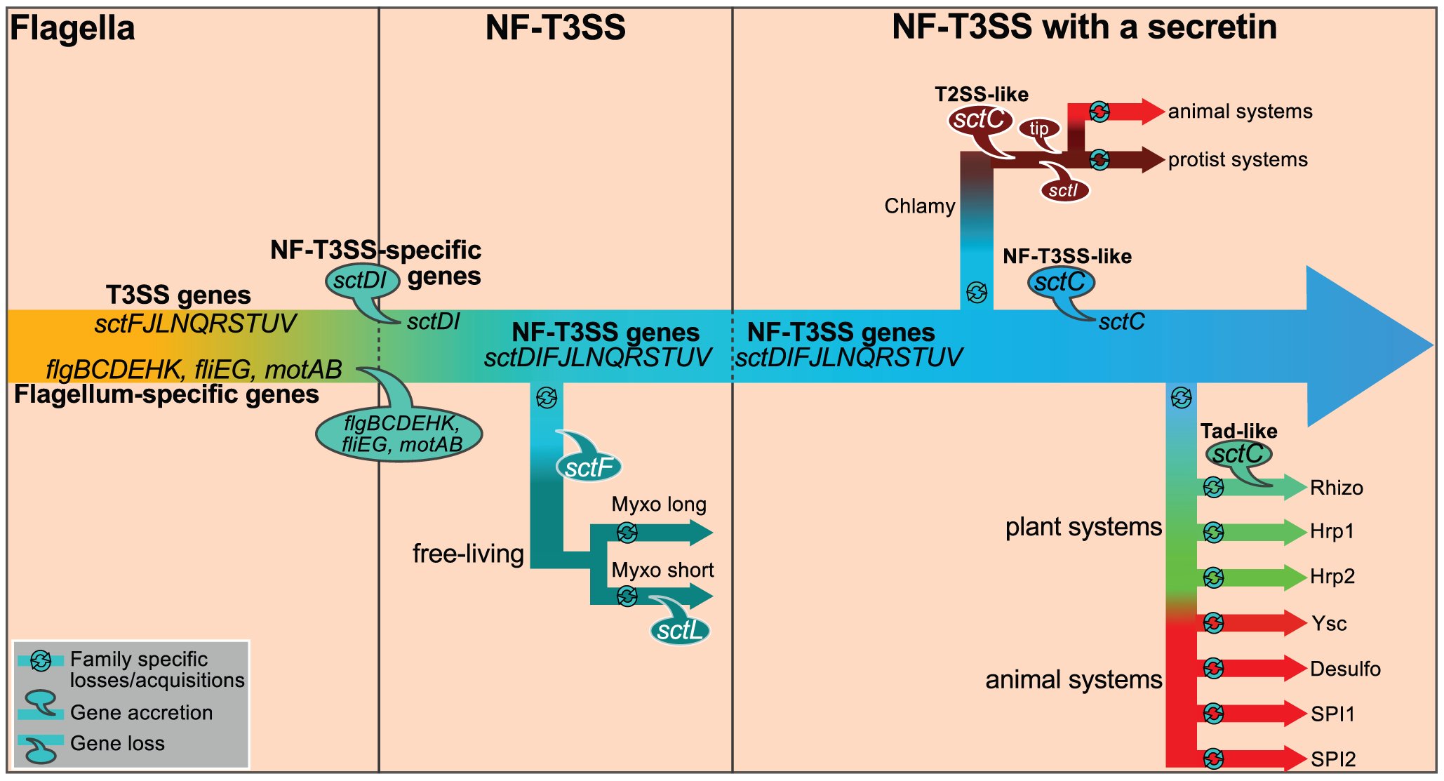 Proposed scenario for the evolution of NF-T3SS.