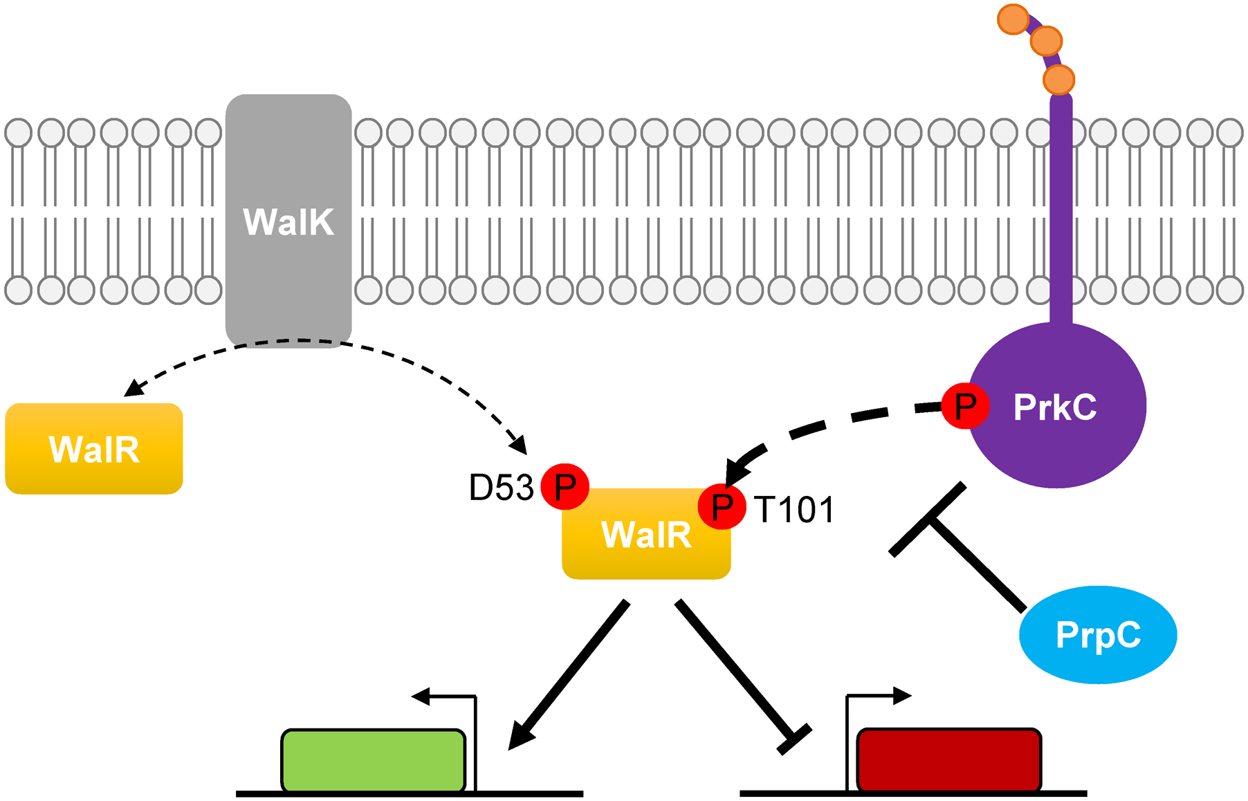Model of PrkC dependent WalR phosphorylation.