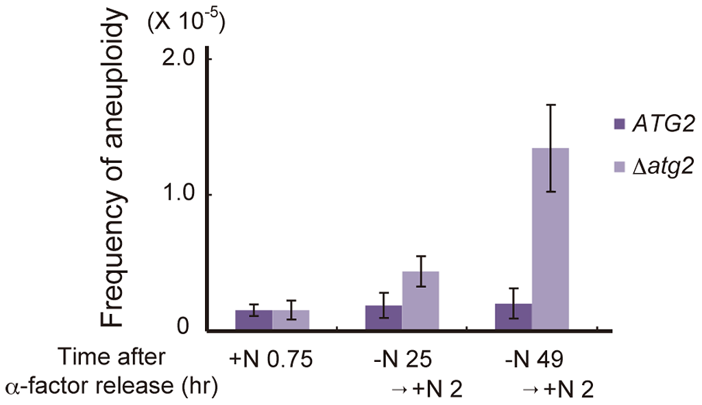 Autophagy deficiency results in an increased frequency of aneuploidy after the addition of a nitrogen source.