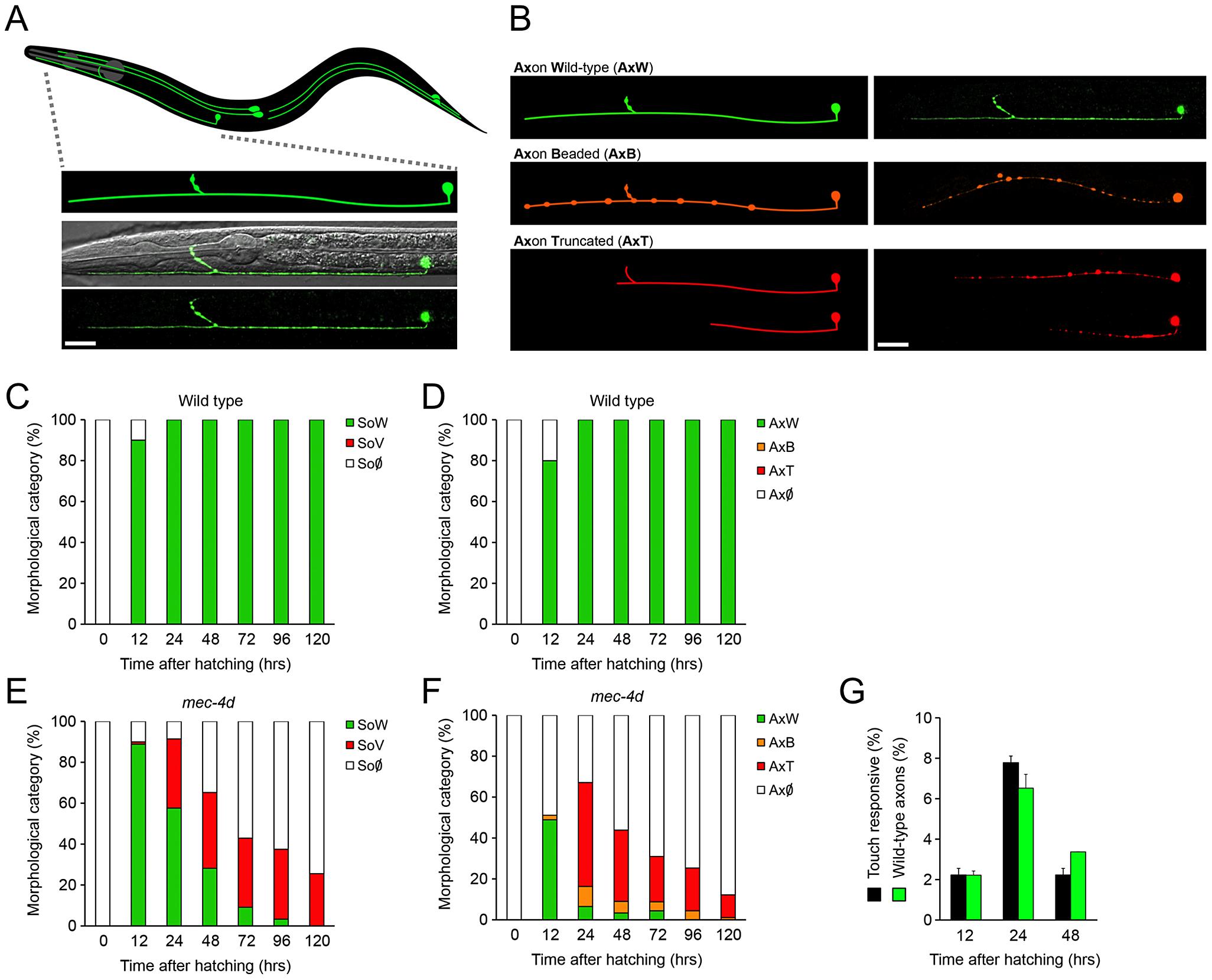 Functional and morphological time course of <i>mec-4d</i> mediated degeneration of <i>C. elegans</i> AVM neuron.