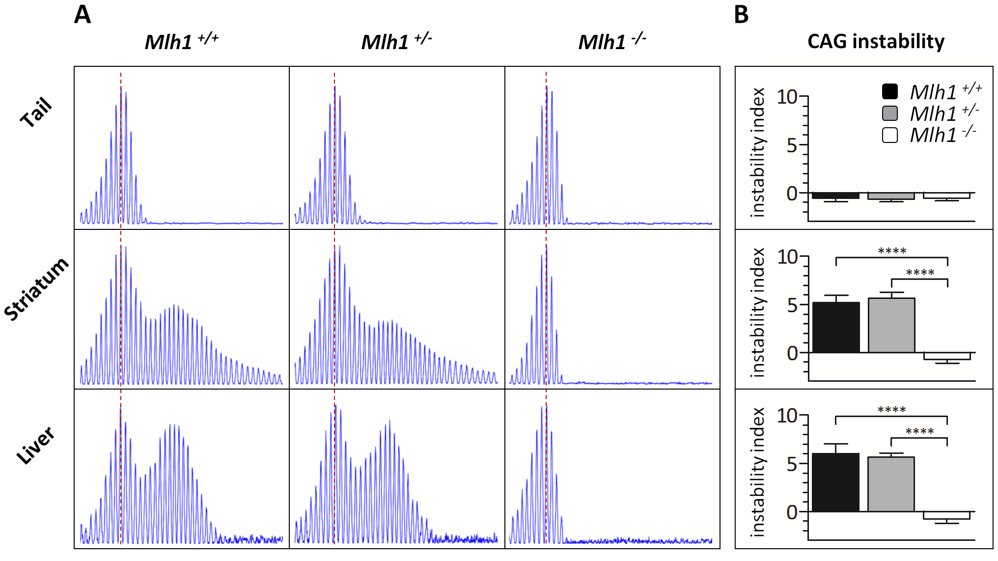 <i>Mlh1</i> is required for striatal and liver <i>HTT</i> CAG repeat instability in B6.<i>Hdh<sup>Q111/+</sup></i> mice.