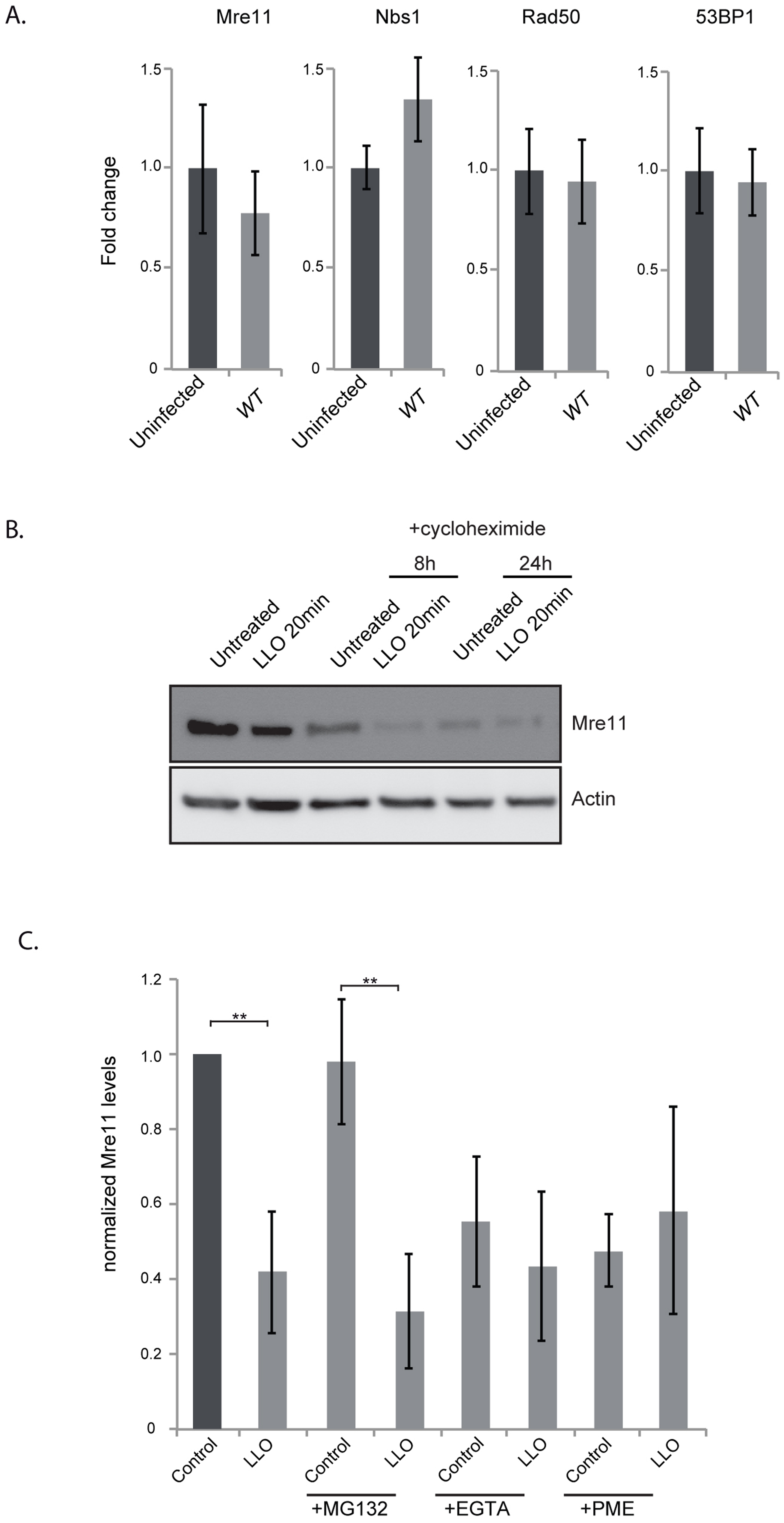 LLO induces degradation of Mre11 in an aspartyl-protease dependent manner.