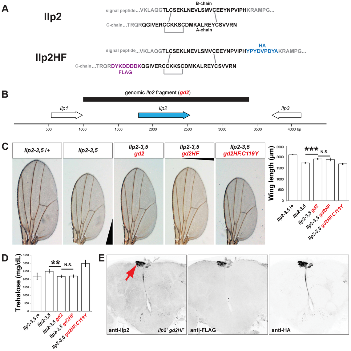 Epitope-tagged Ilp2 rescues insulin deficiency phenotypes.