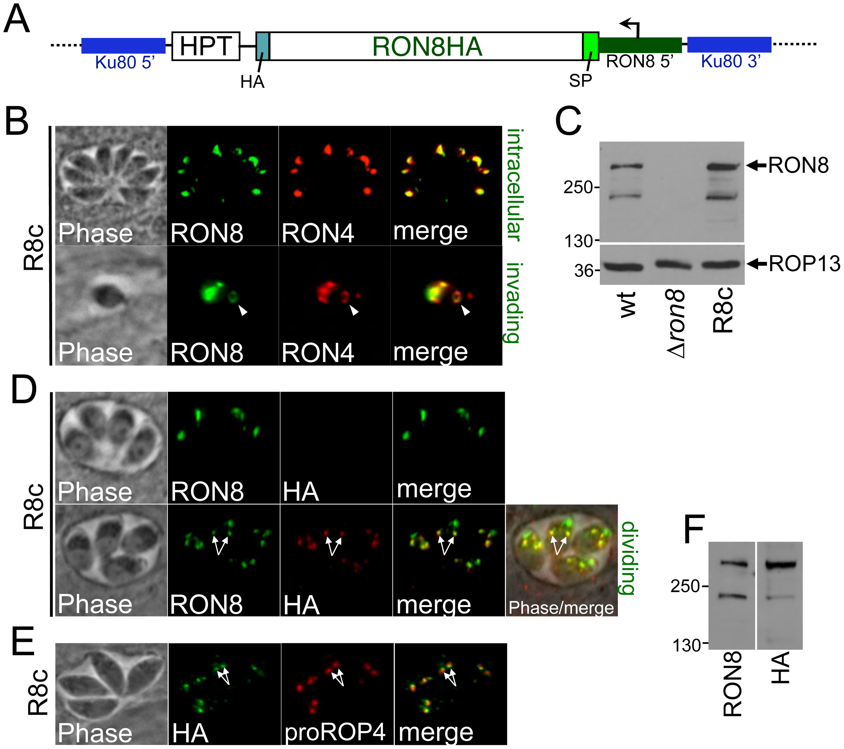 Complementation of <i>RON8</i> by targeting a RON8 expression cassette to the <i>KU80</i> locus.
