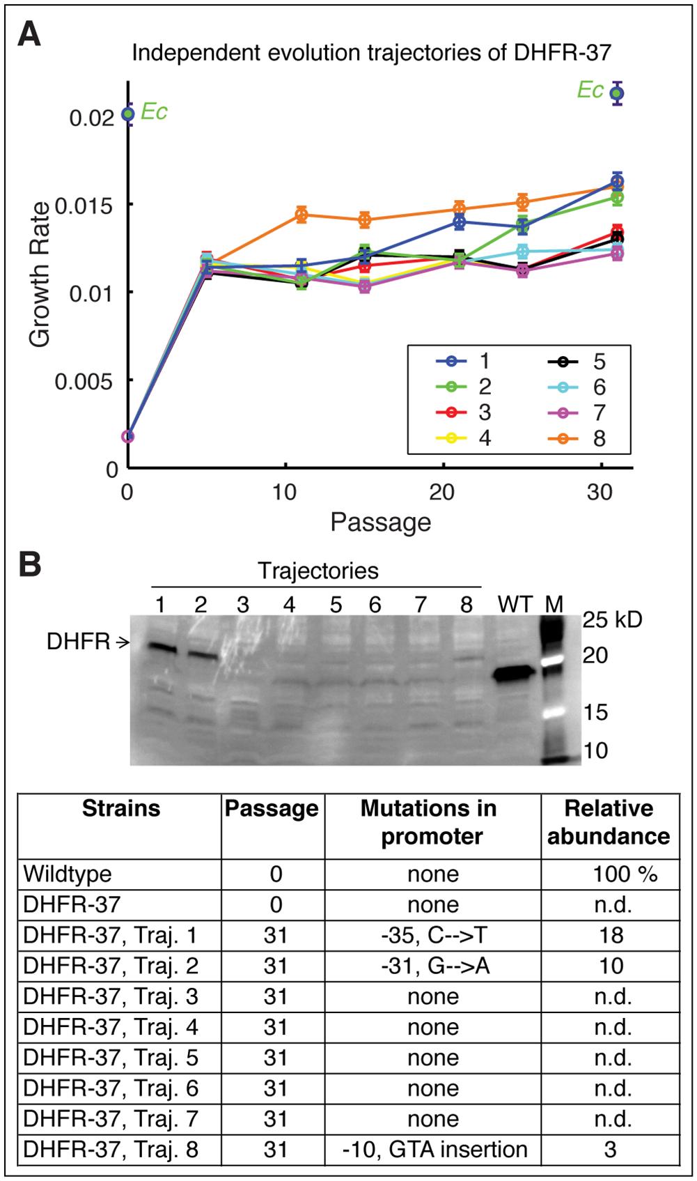 Fine-tuning evolution of orthologous DHFR expression.