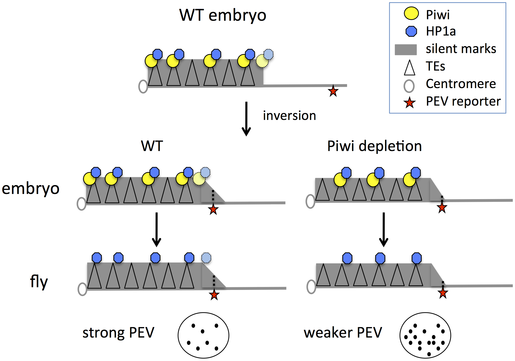 Model for Piwi's role in the heterochromatin formation and PEV reporter silencing.